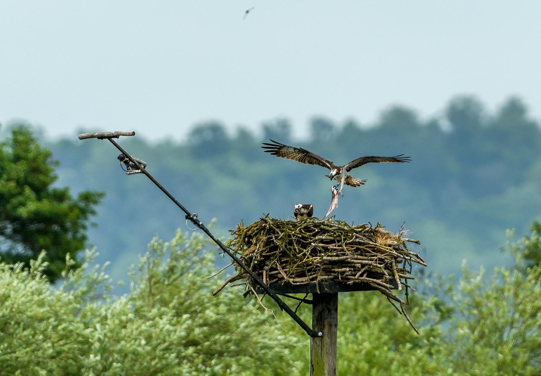 Osprey by Paul Collins