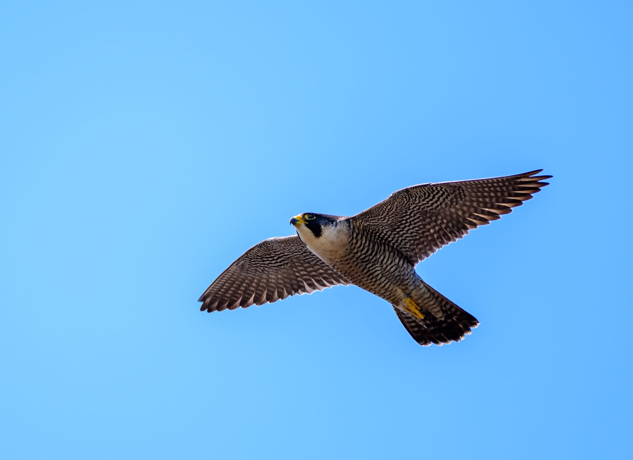 Peregrine Falcon flying near Strutt's North Mill in Belper today by Paul Collins