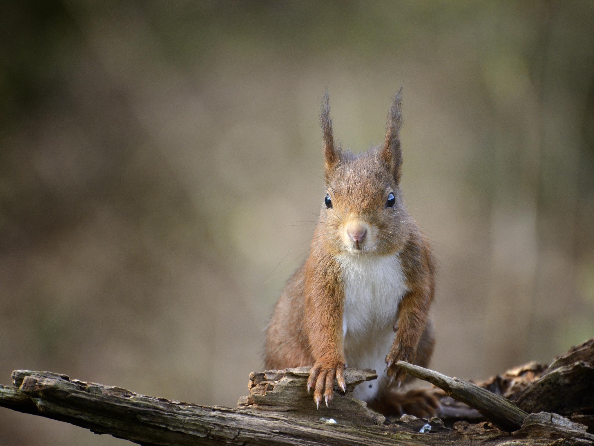 a dutch squirrel! by Walther Burg