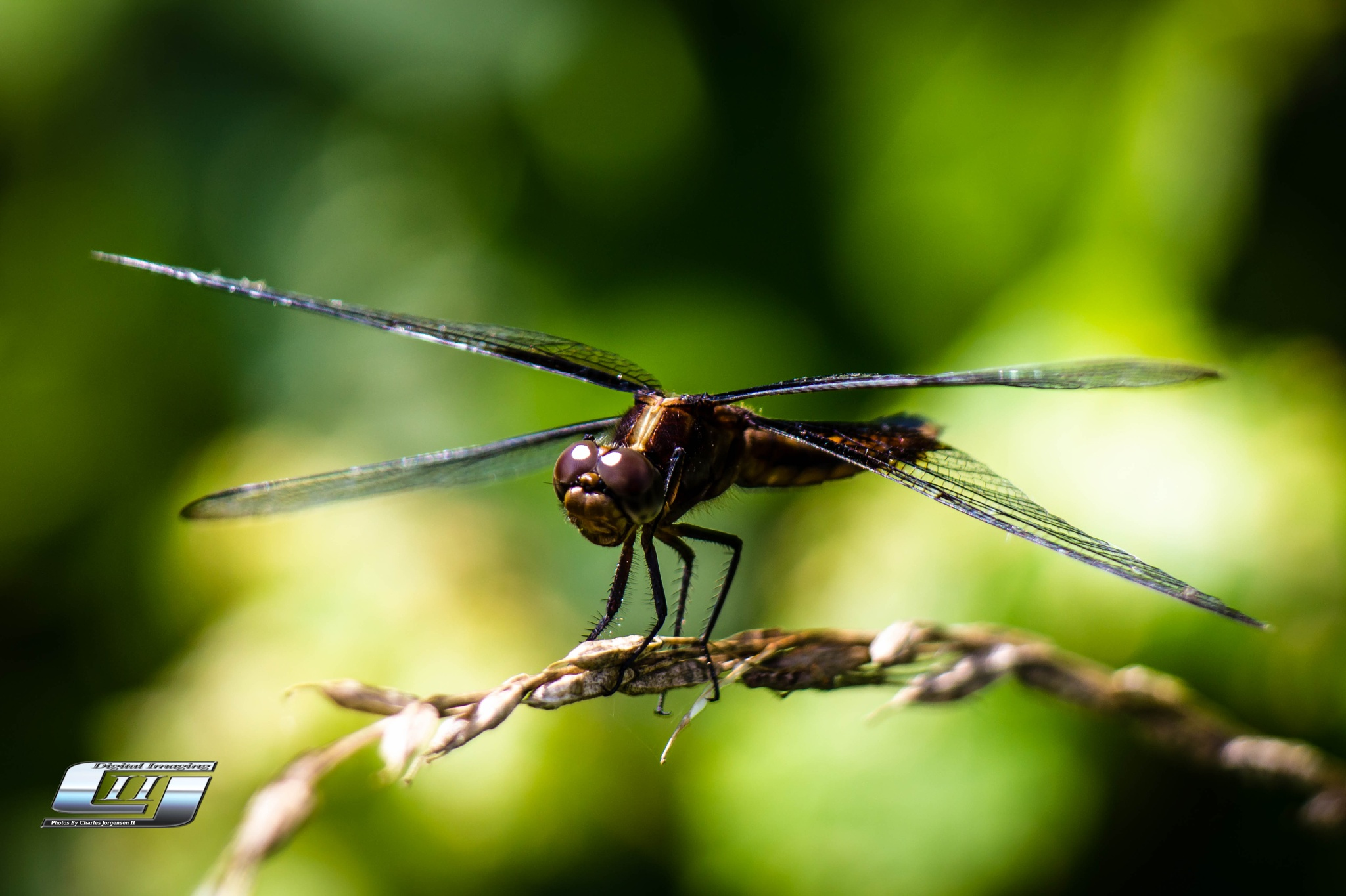 Dragonfly Portrait by Charles Jorgensen