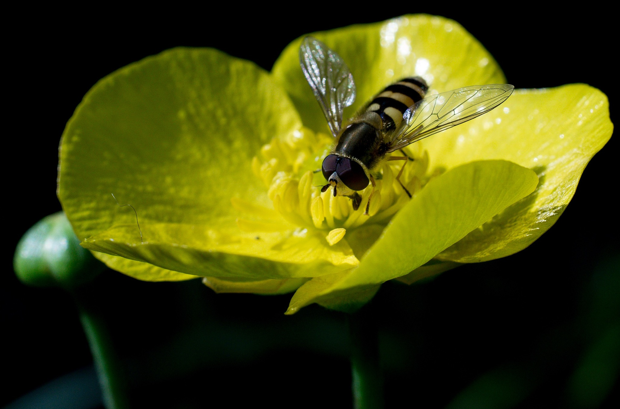 Hover fly on yellow flower by Dave Bloor Snr