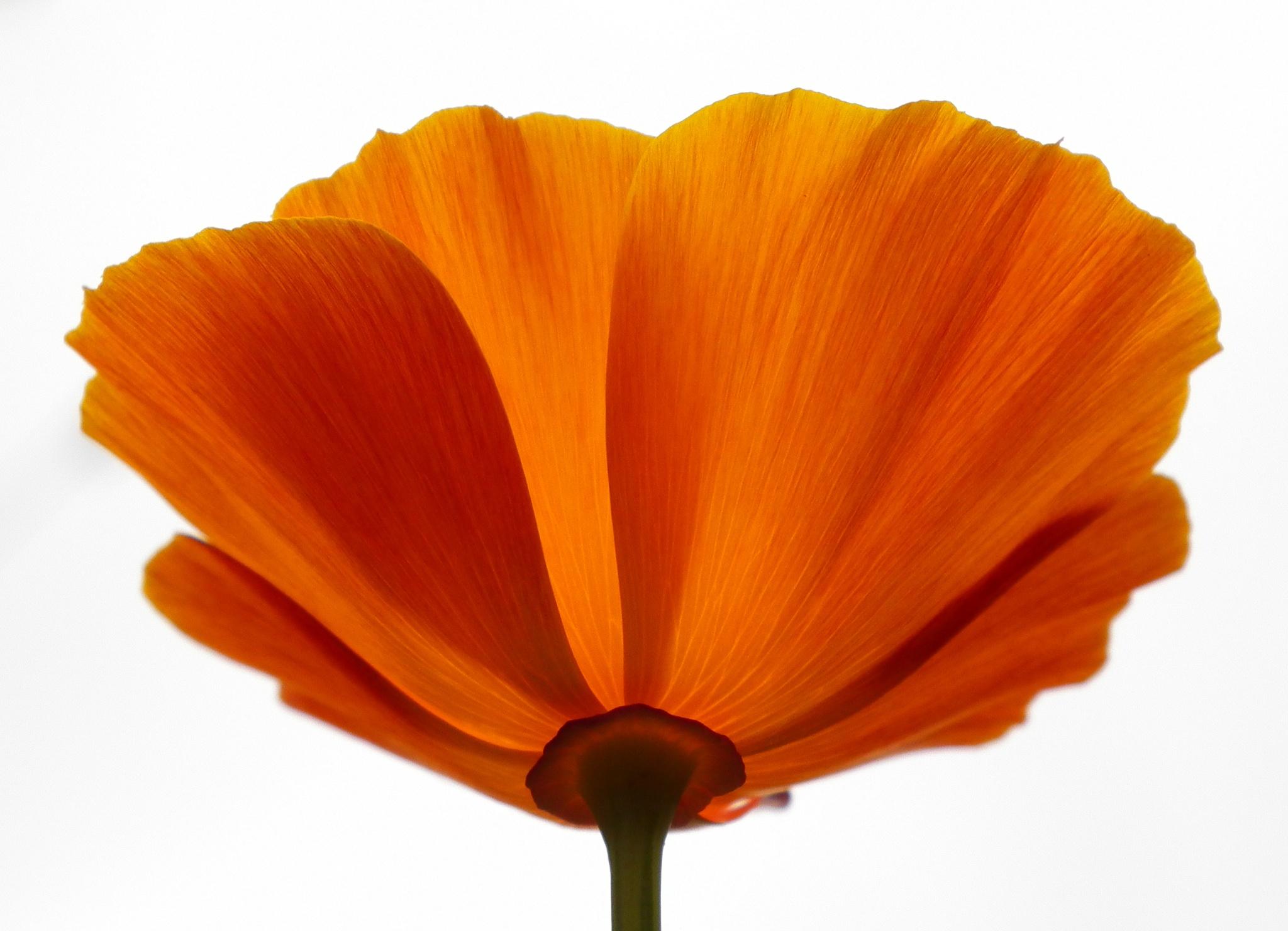 Orange poppy by Dave Bloor Snr