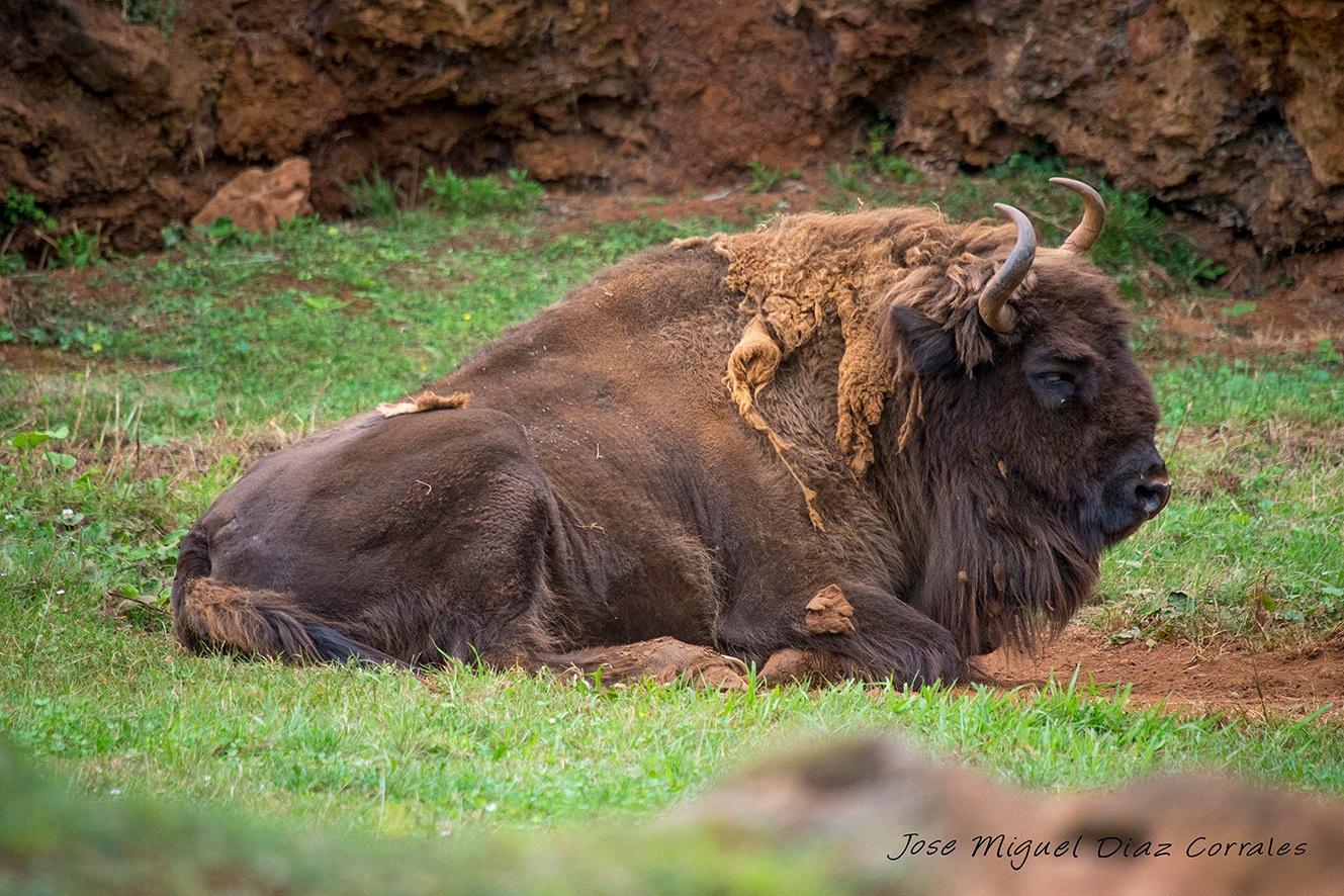 Bisonte by Josemigueldiazcorrales