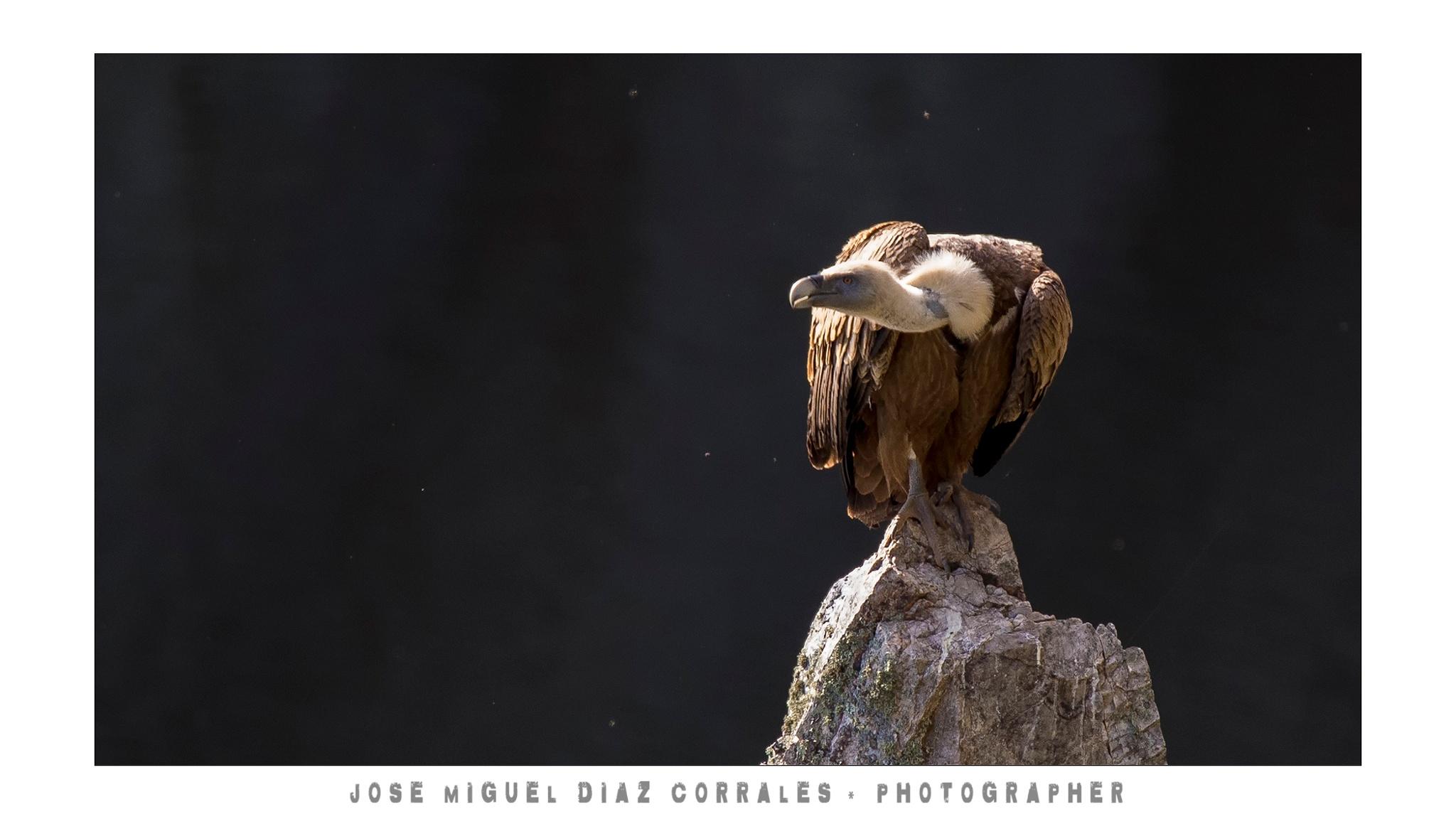 Photo in Animal #buitre #leonado #aves #birds #river #rio #lake #lago #monfrague