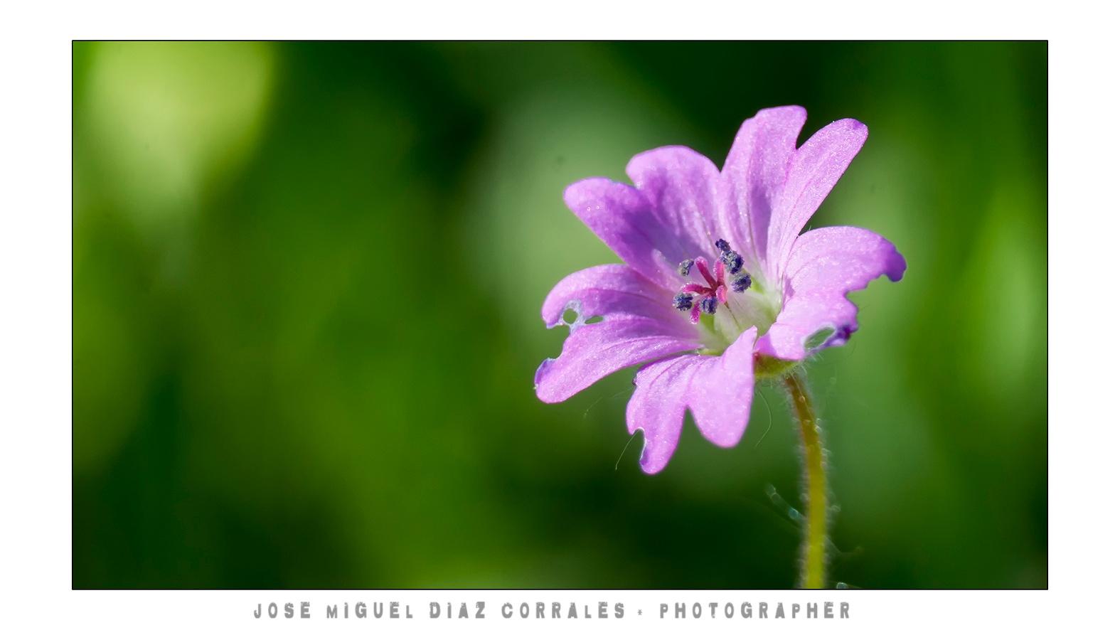 Flor by Josemigueldiazcorrales