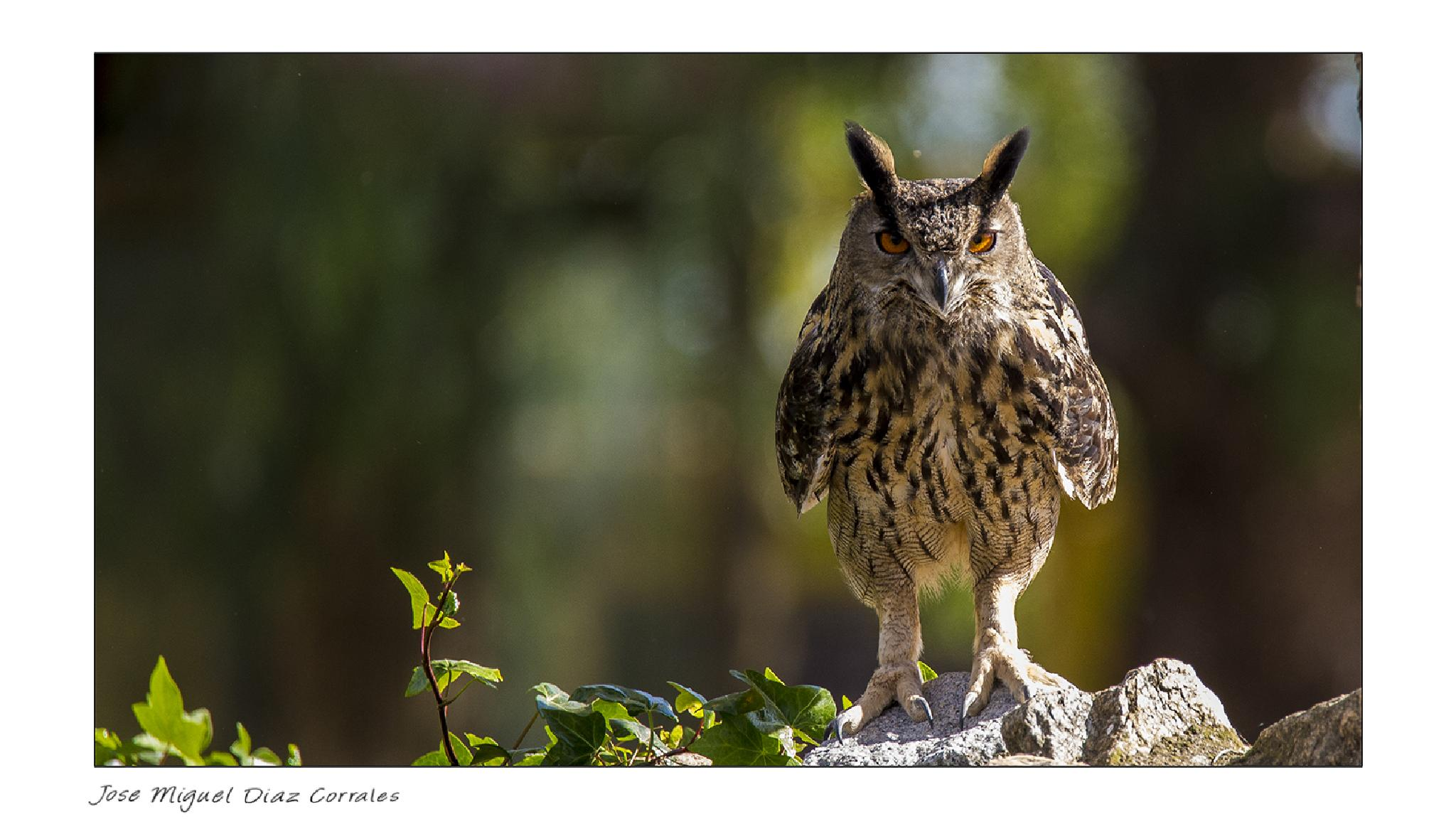 Buho real - Bubo bubo by Josemigueldiazcorrales