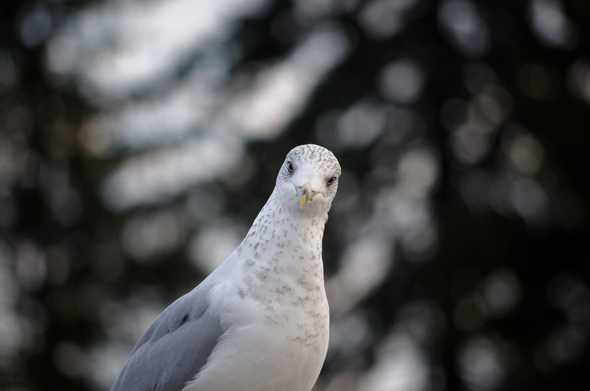 Curious Gull by Kobie Mercury-Clarke