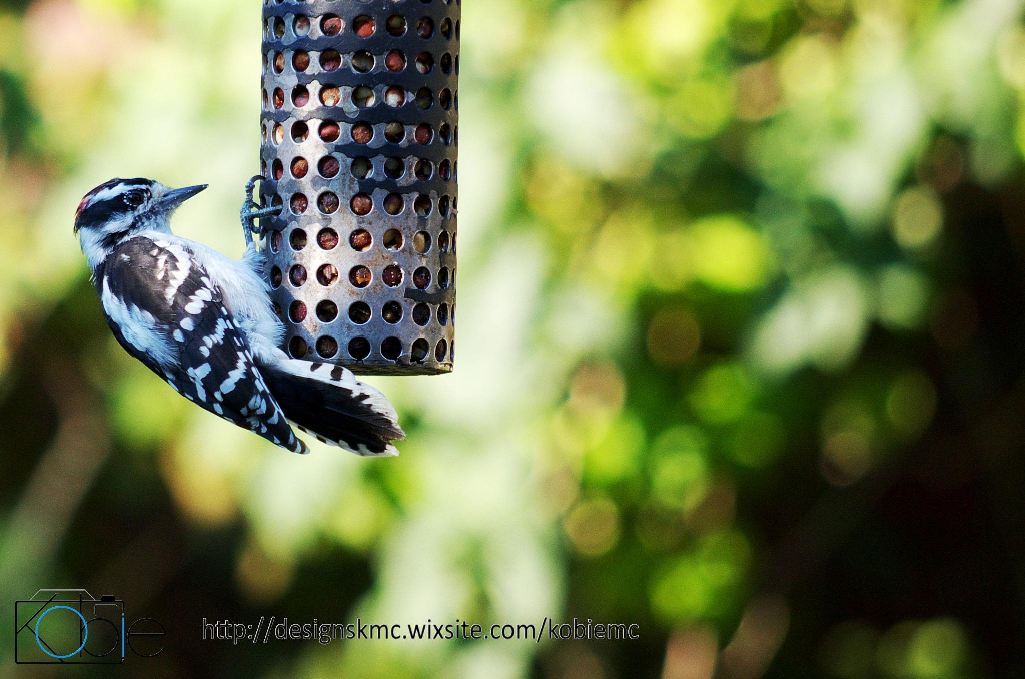 Hairy Woodpecker by Kobie Mercury-Clarke