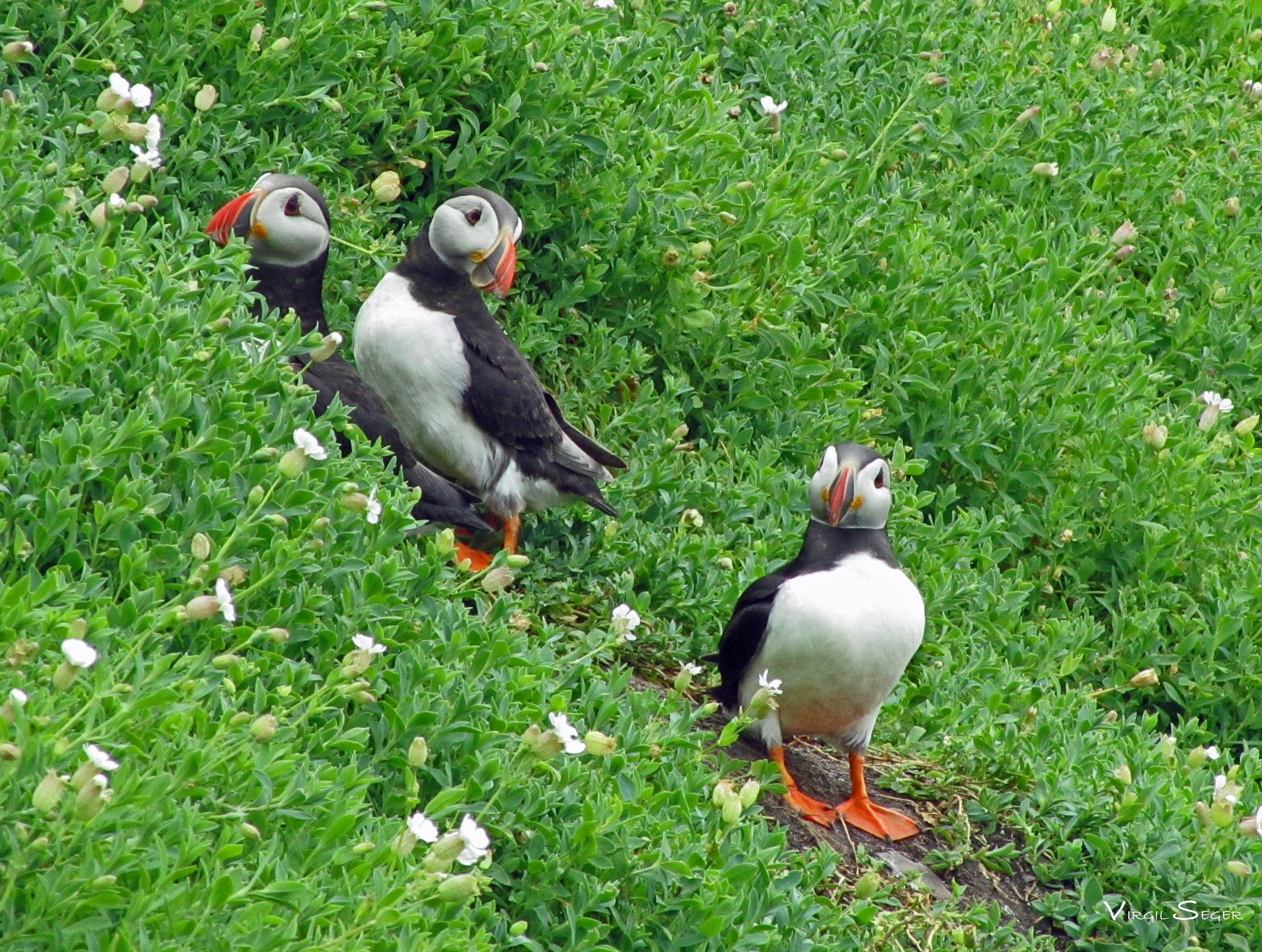 Puffins in Ireland by Virgil Seger