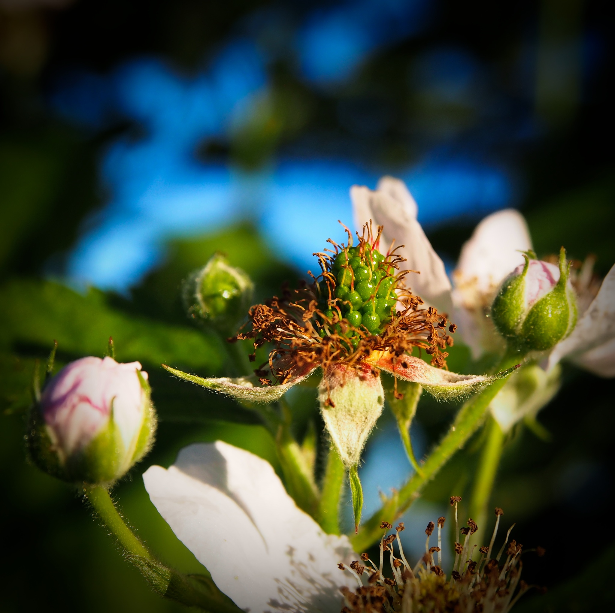 green blackberry by tancon