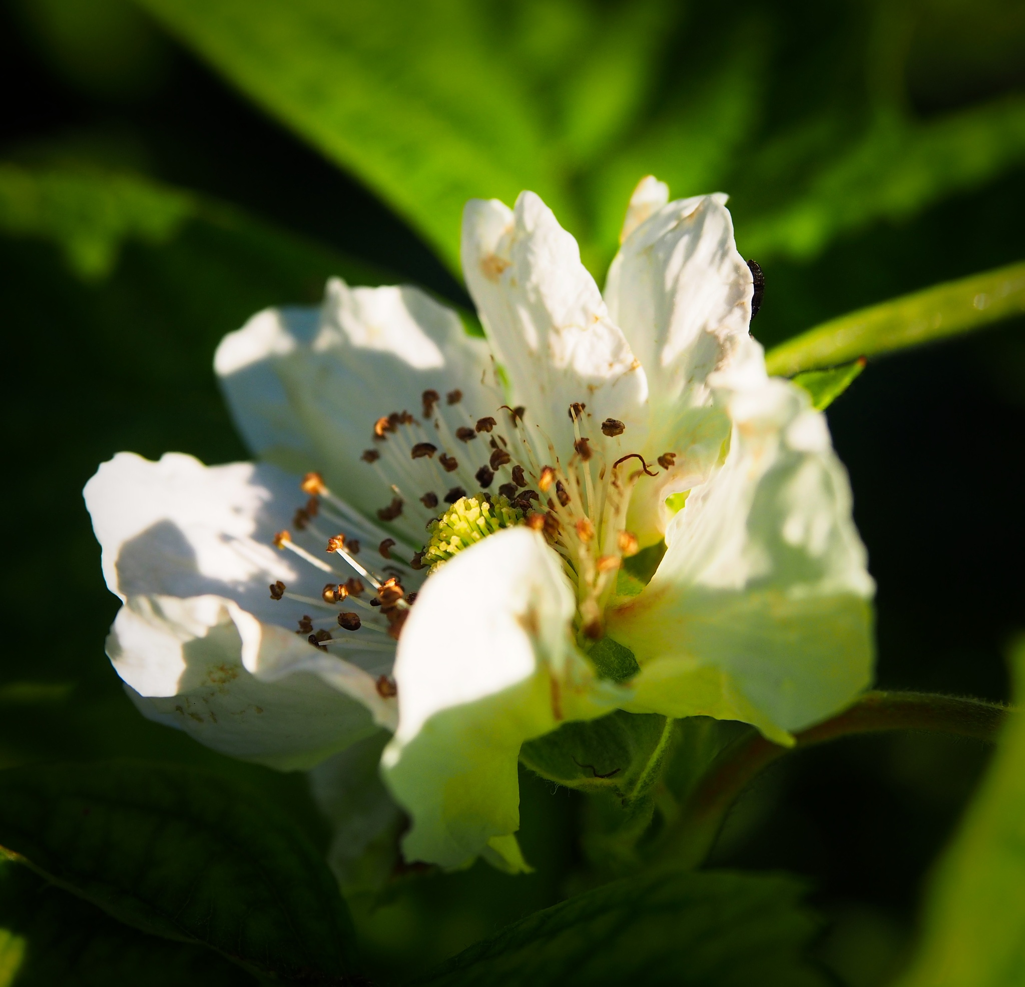 blackberry blossom by tancon