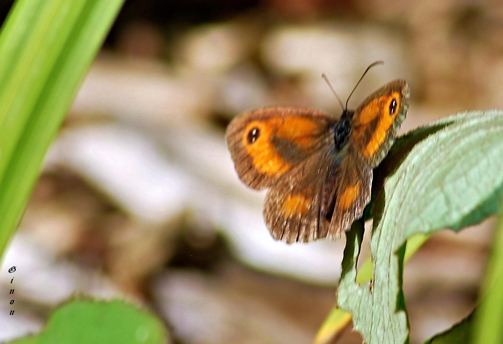 Papillon commun by Creusson Ginette