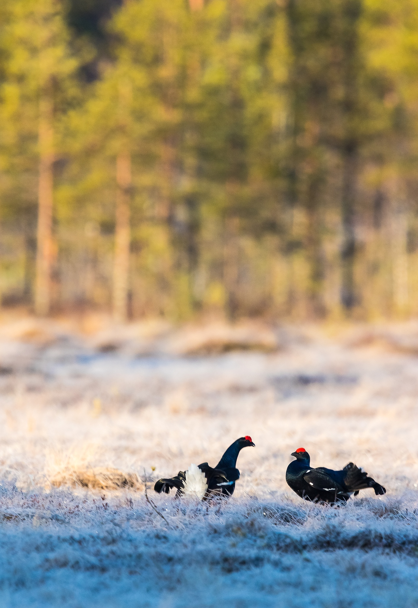 Black grouse courting by Ari Niippa