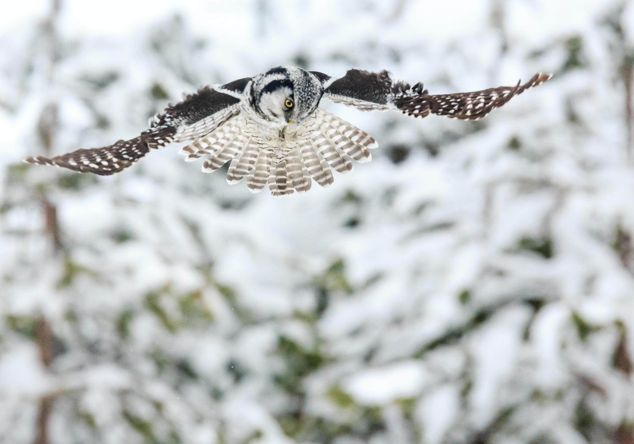Hawk owl by Ari Niippa