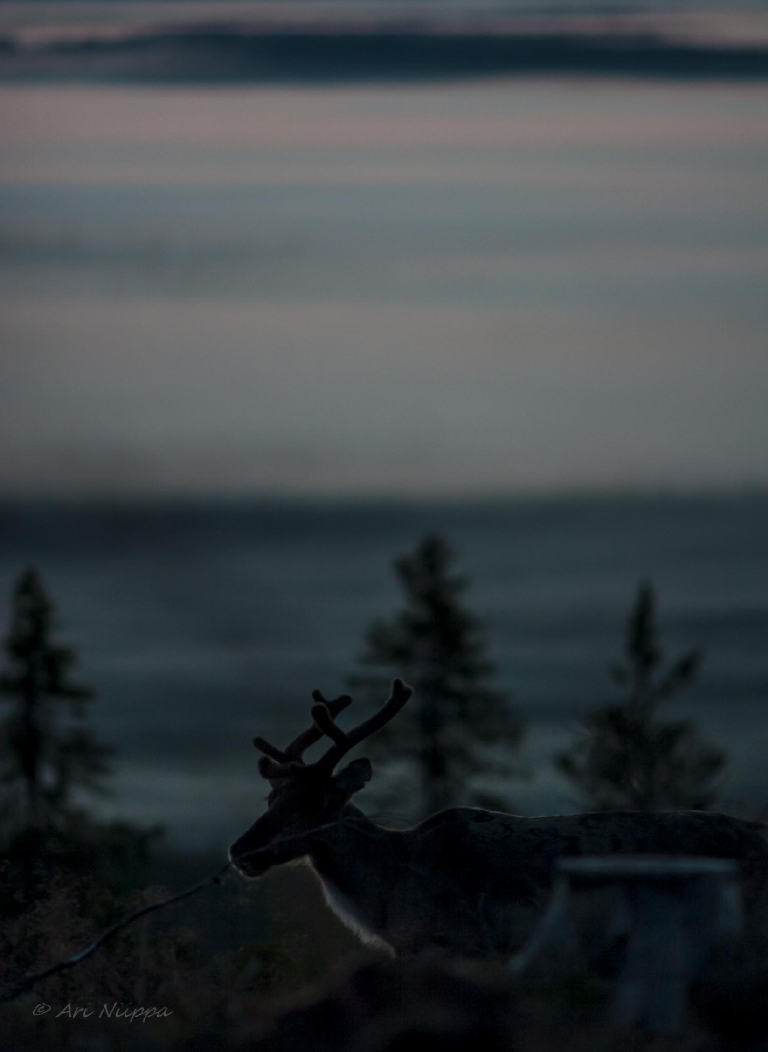 Reindeer by Ari Niippa