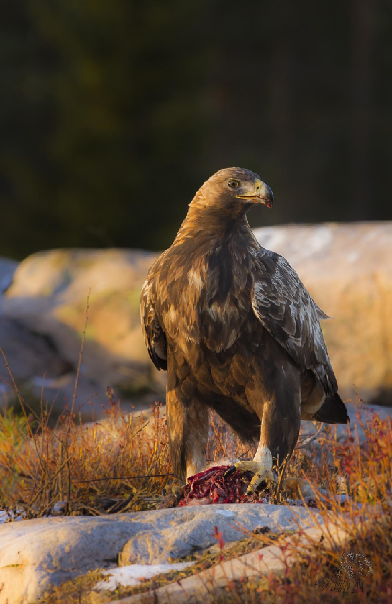 Golden Eagle and rabbit by Ari Niippa