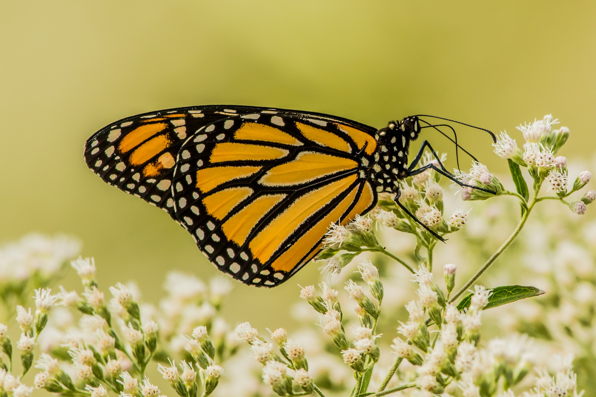 Monarch Butterfly by Werner R. Ennesser