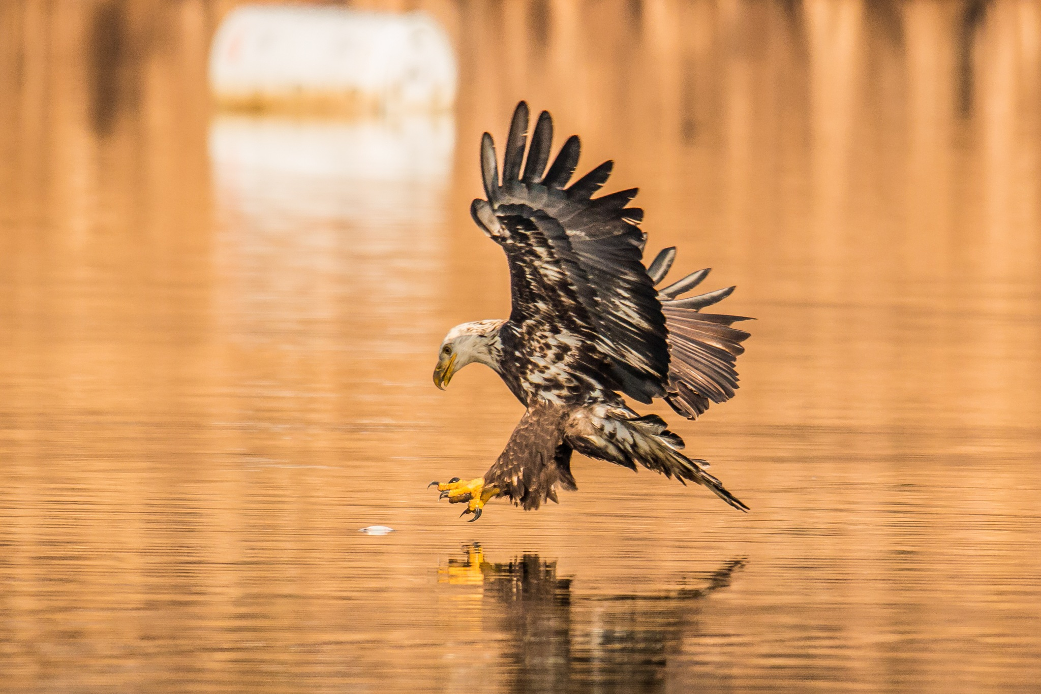 Eagle Fishing by Werner R. Ennesser
