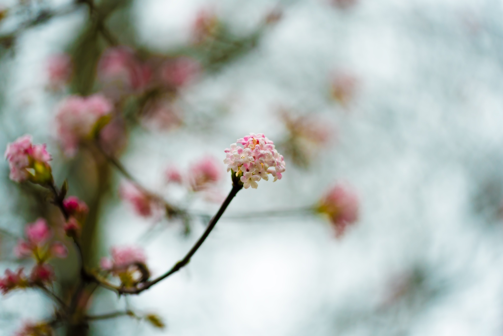 blossoms pop up by MichaelG