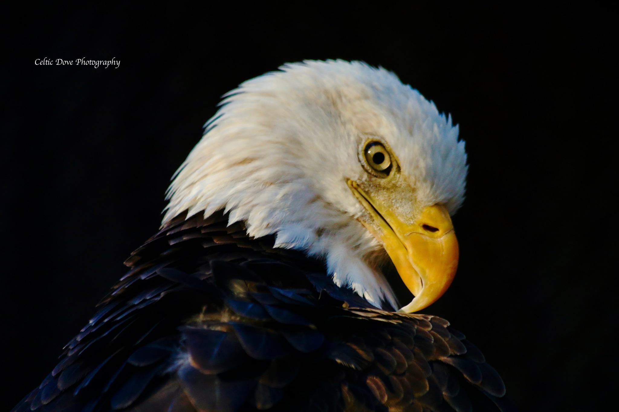 Golden Eagle by CelticDove