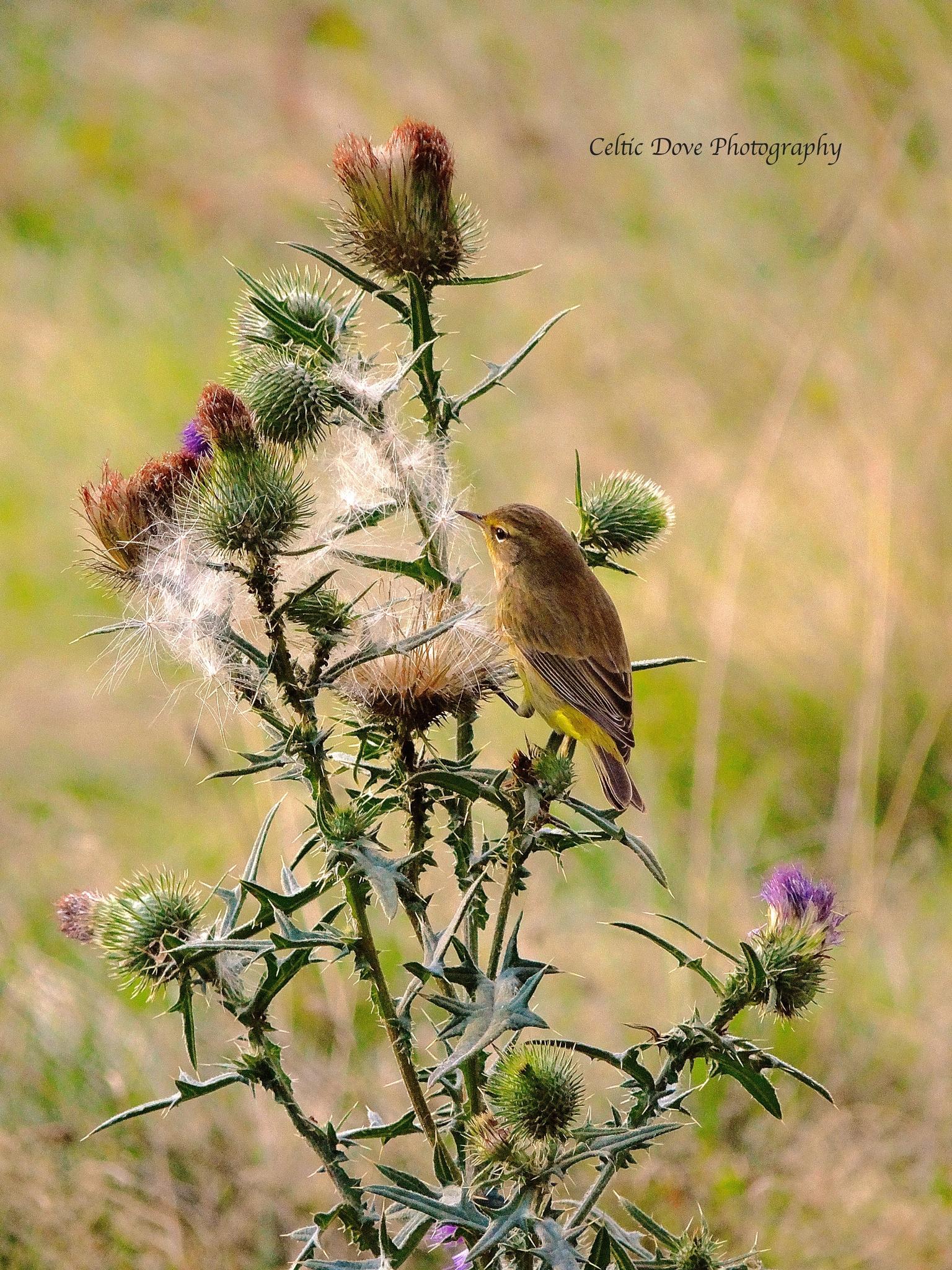 Photo in Nature #animal #bird #yellow warbler #thistle #nature #random
