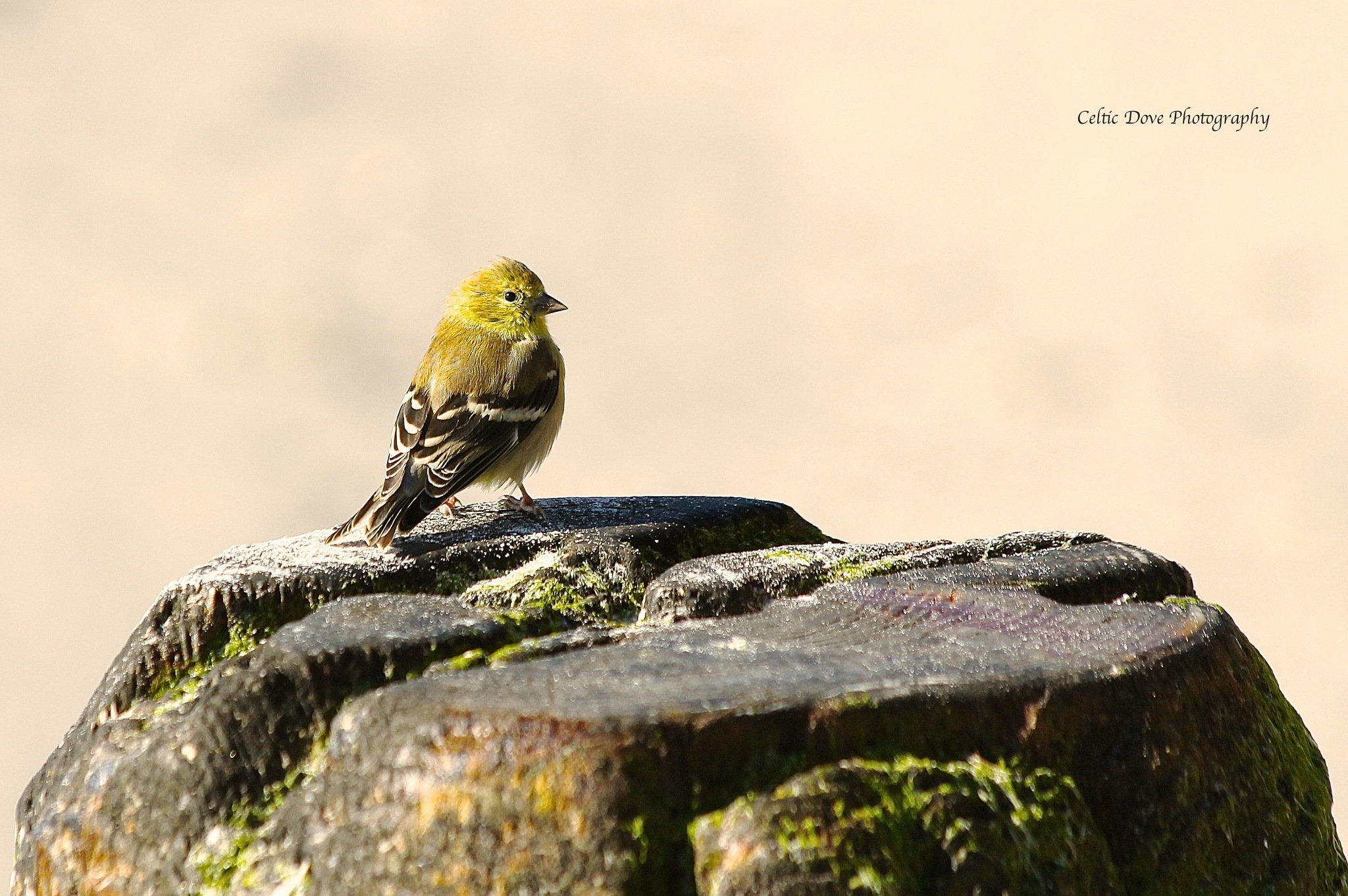 Male Pine Warbler by CelticDove