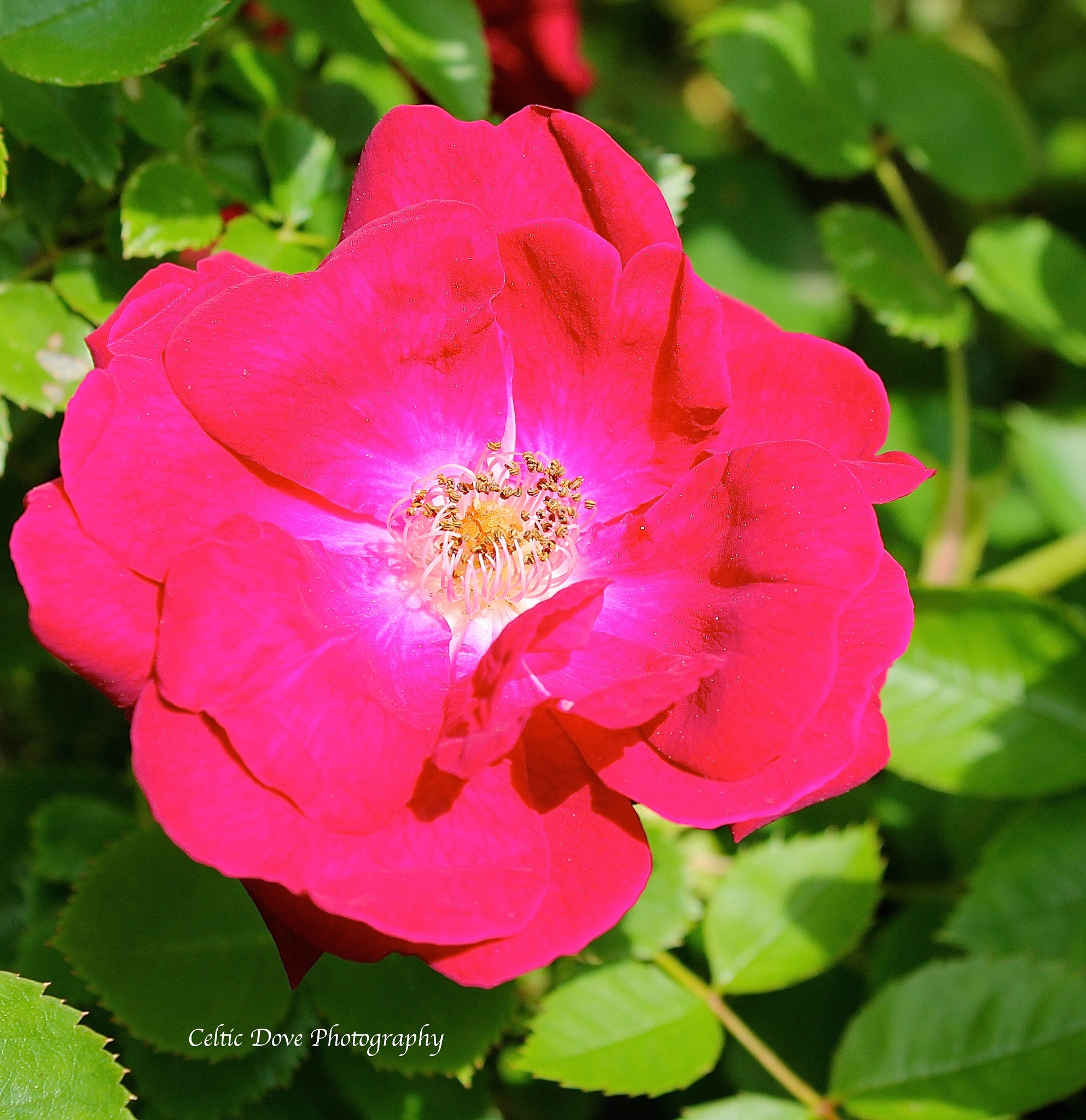 'Tis The Last Rose of Summer by CelticDove