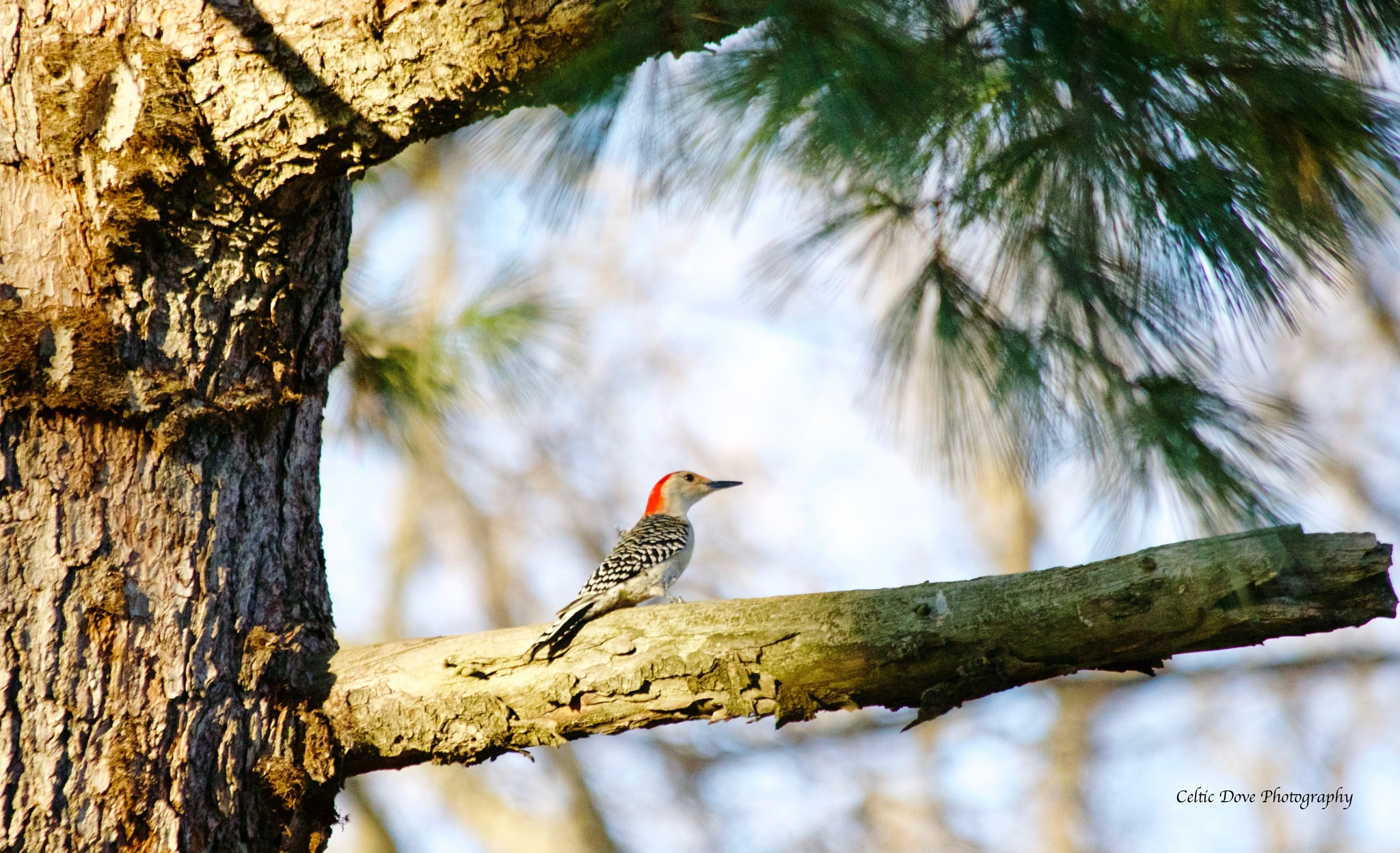 Woodpecker by CelticDove