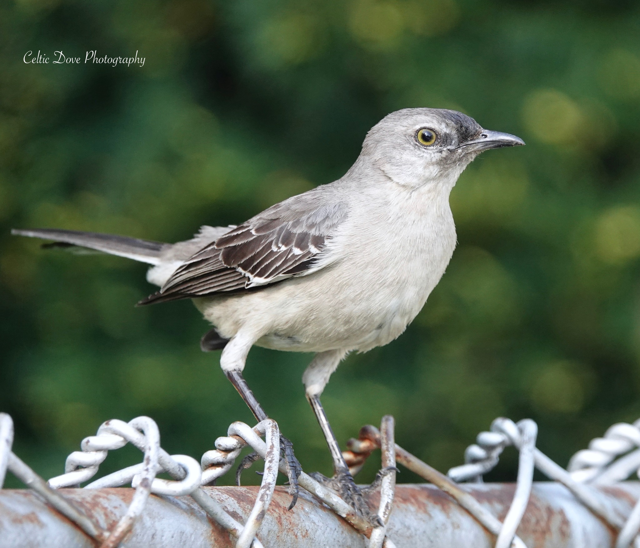 Mockingbird by CelticDove