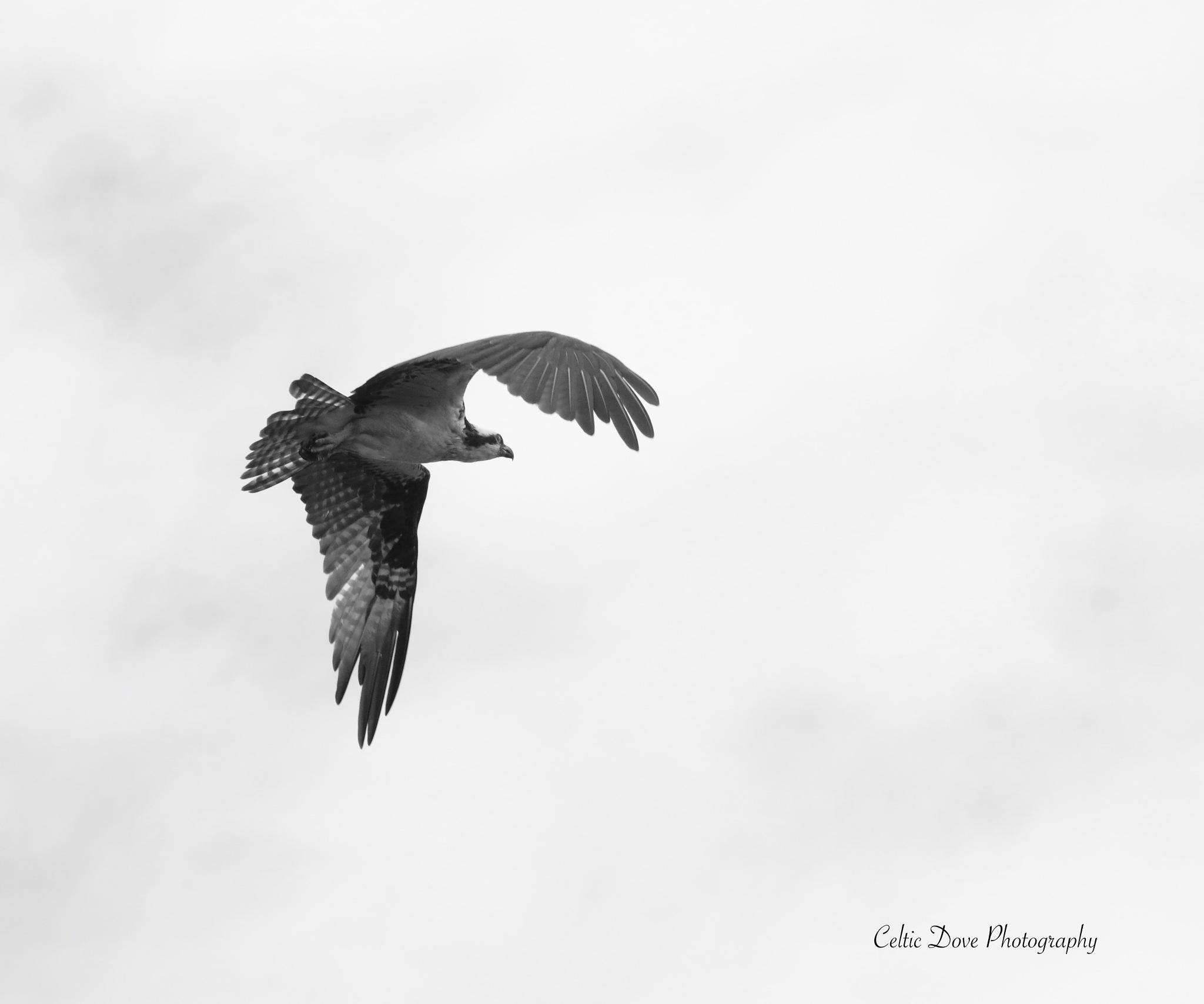 An Osprey In Flight by CelticDove