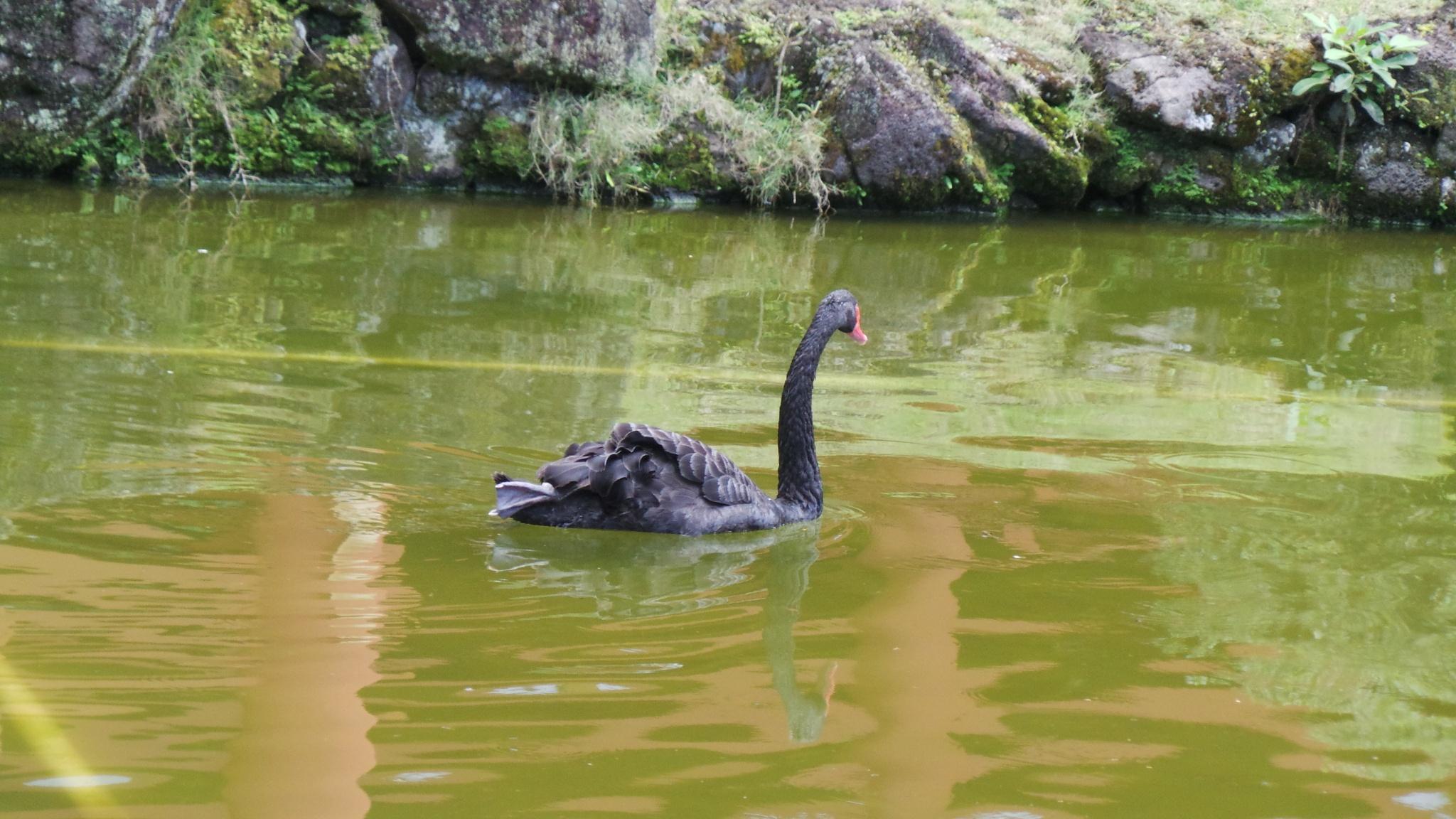 swimming bird by Shabana