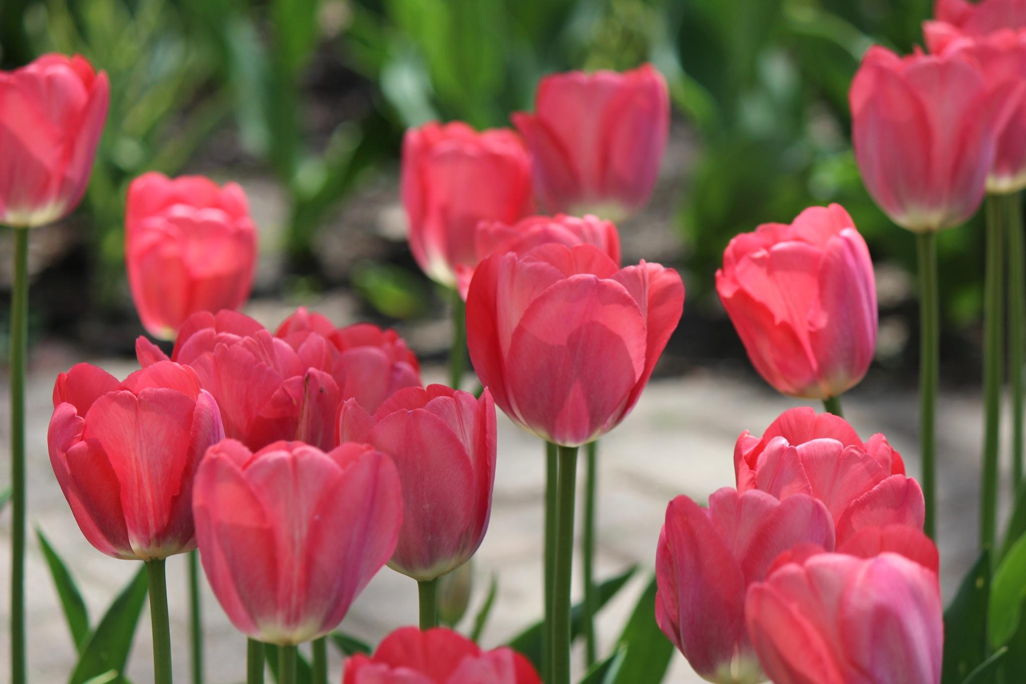 Tulip by Shabana