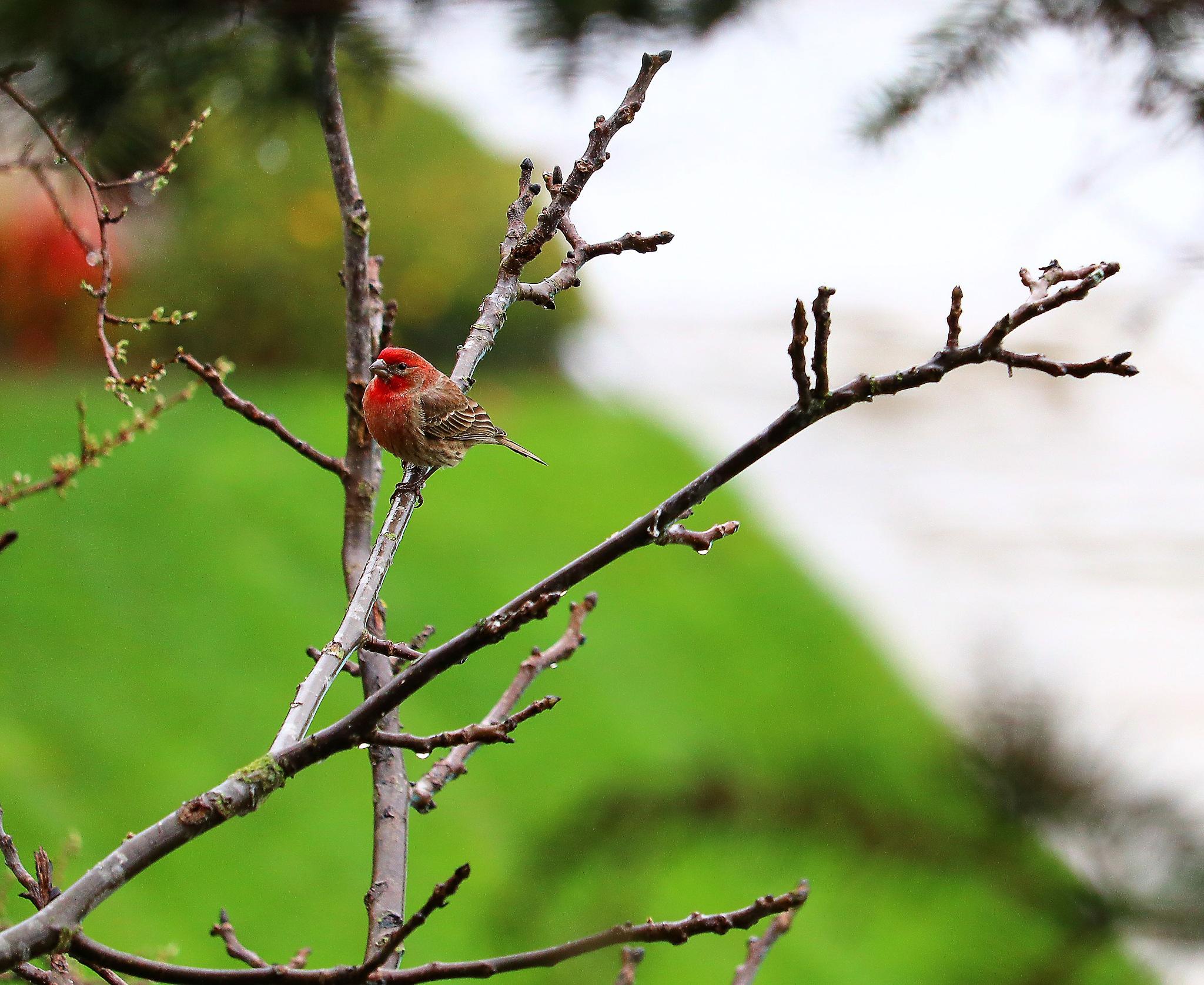 Chickadee in the Rain by Robert Atkinson