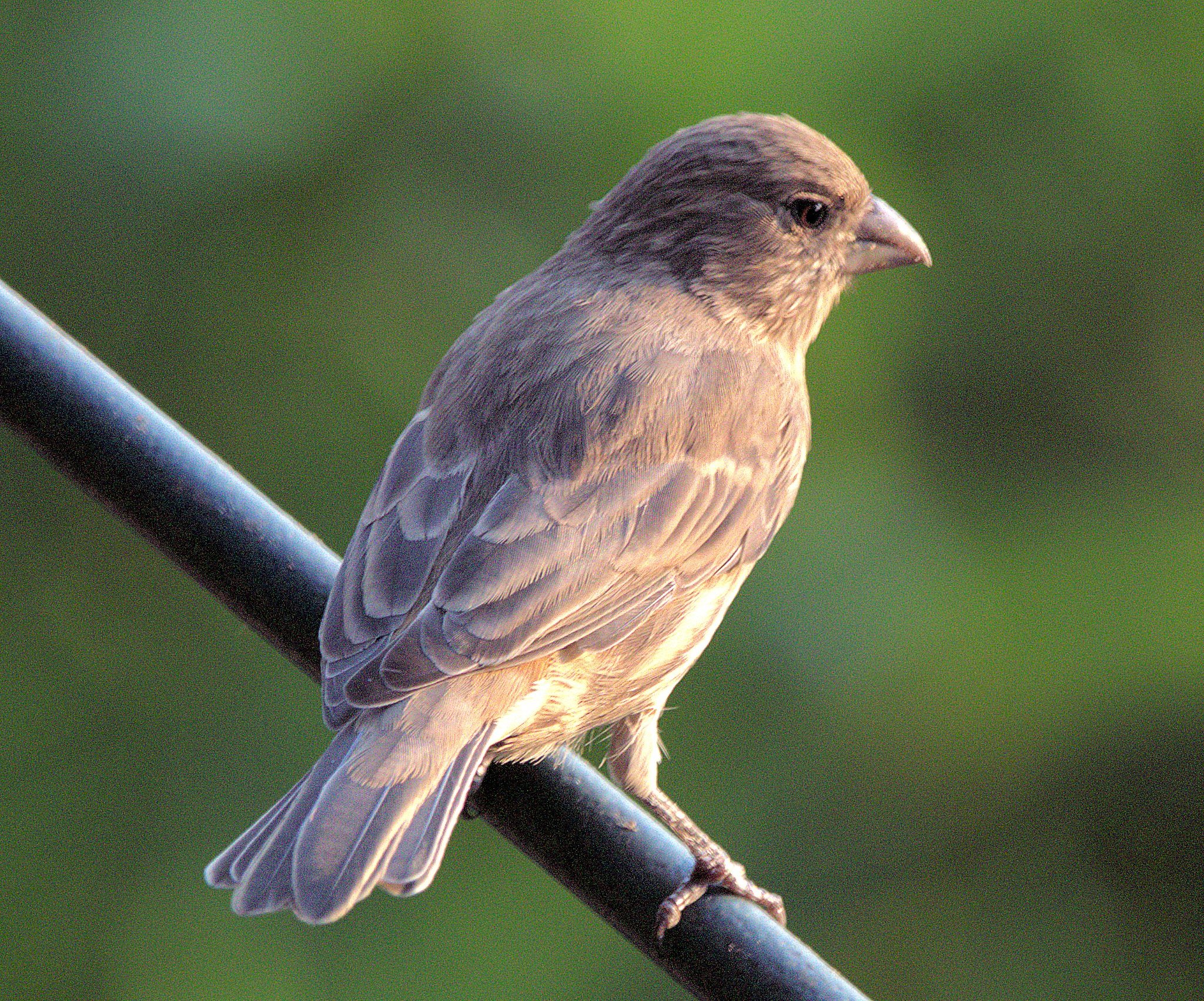 Perched Finch by Robert Atkinson