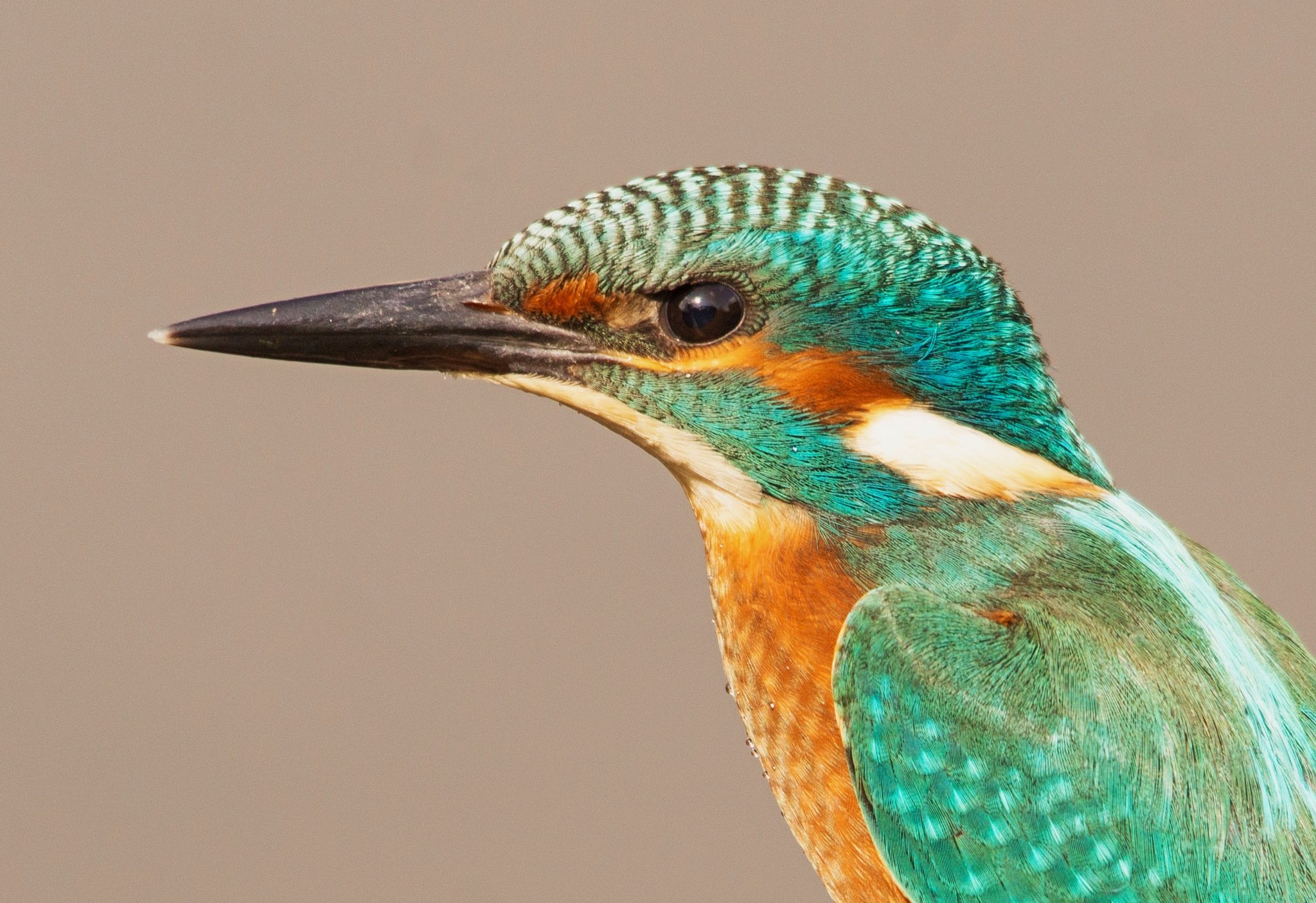 Close-up Kingfisher by Hans Lunenborg