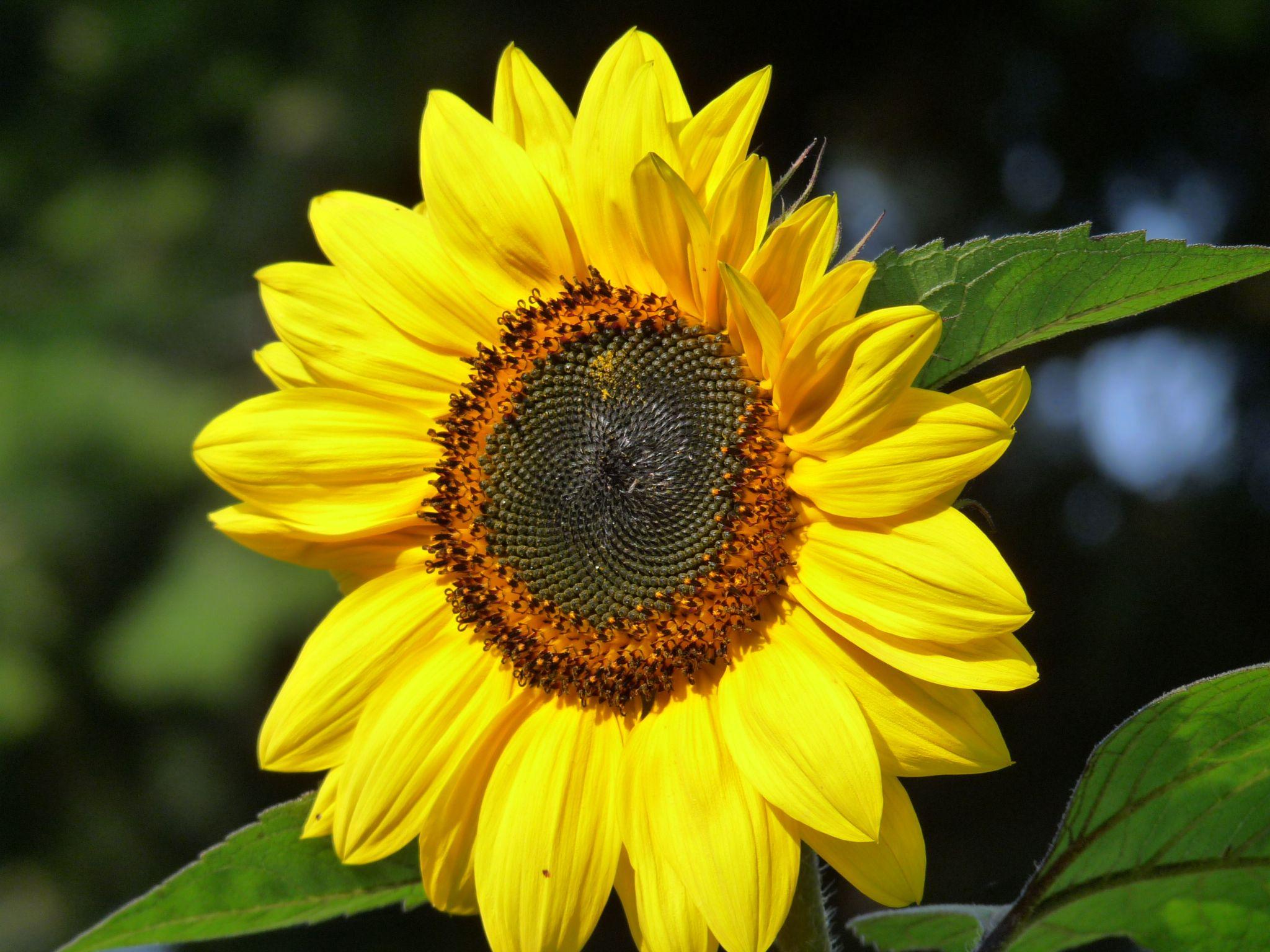 Slunečnice by Hana