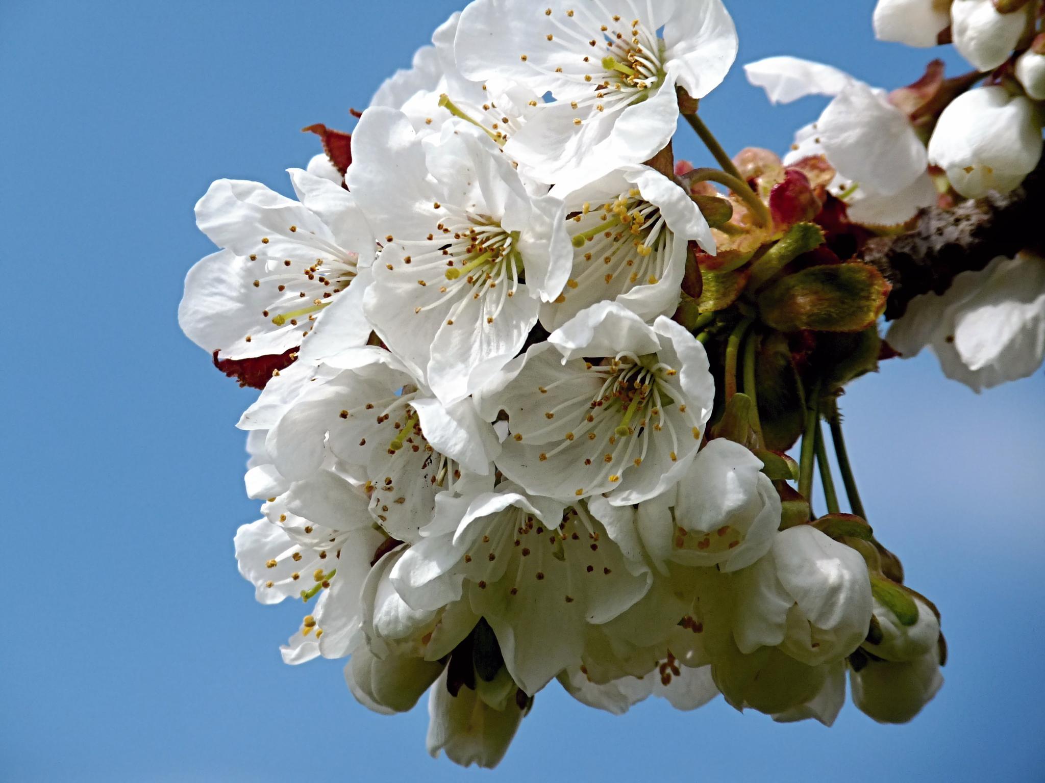 Květy třešně by Hana