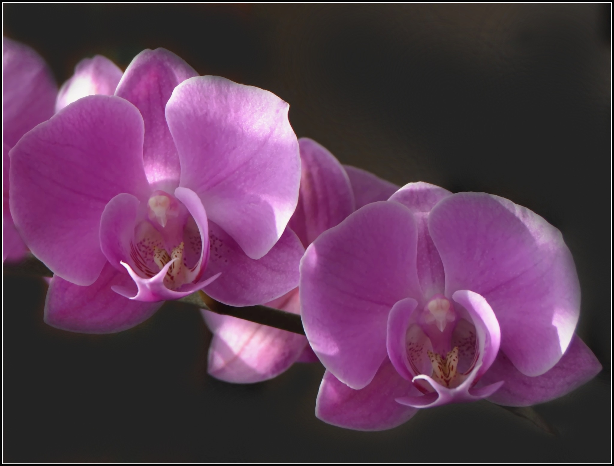 Orchidej by Hana