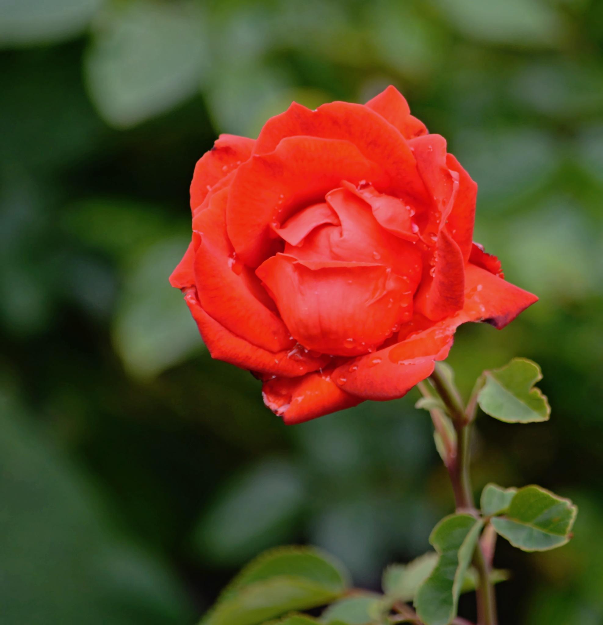 Růže by Hana