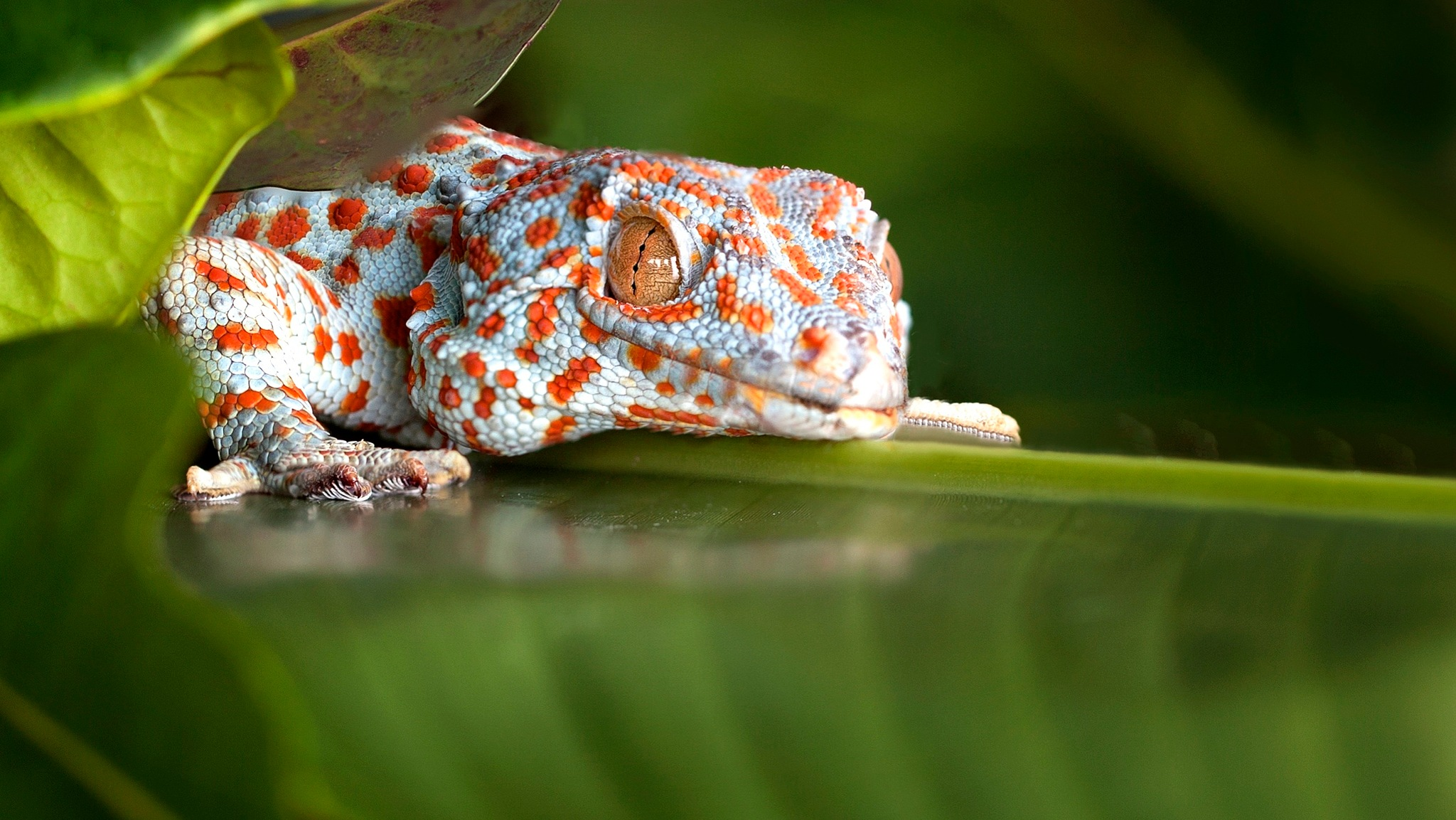 Spotted Tokay Gecko  by EduardBetz LRPS