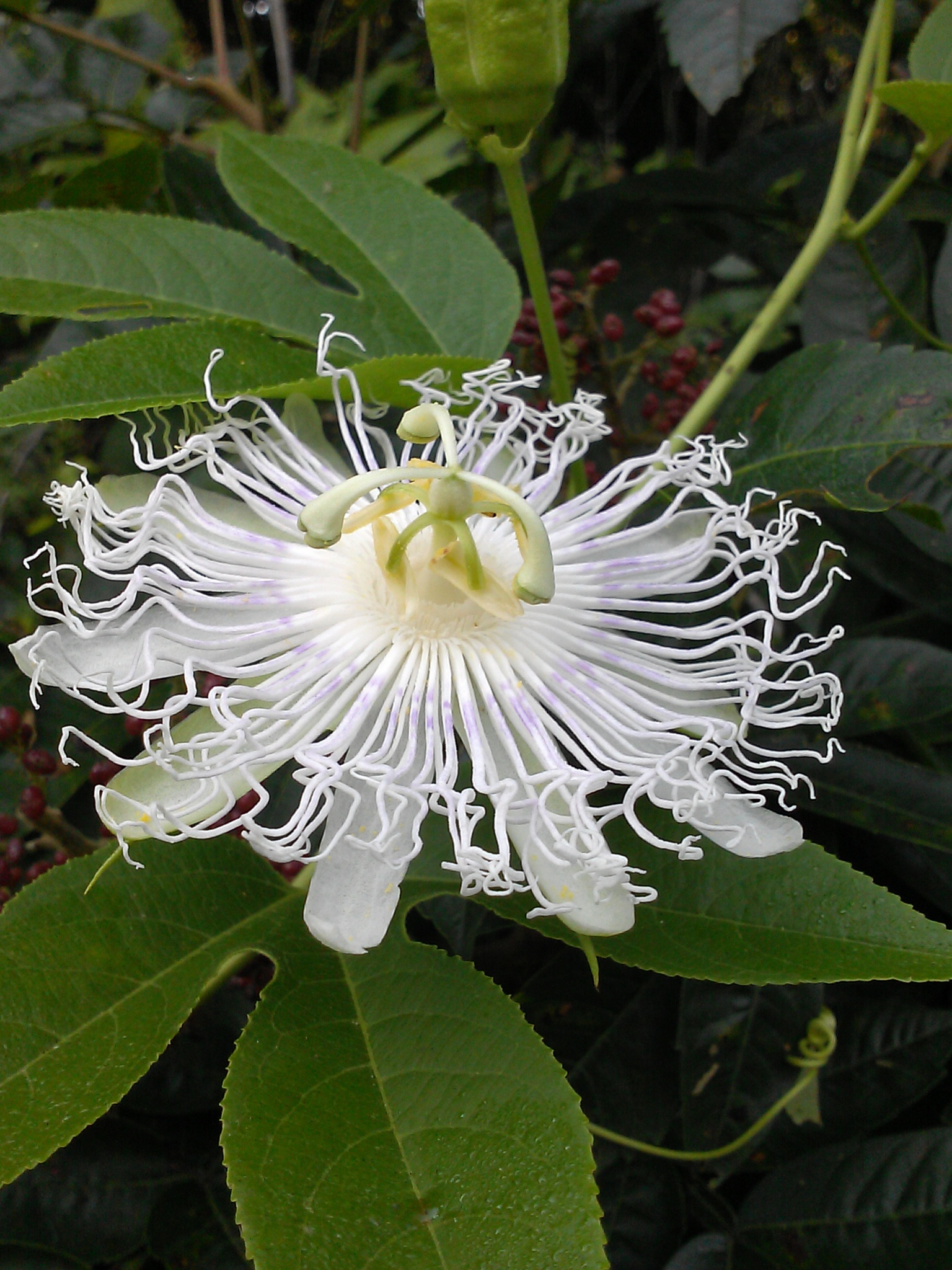 white passion flower  by TKC
