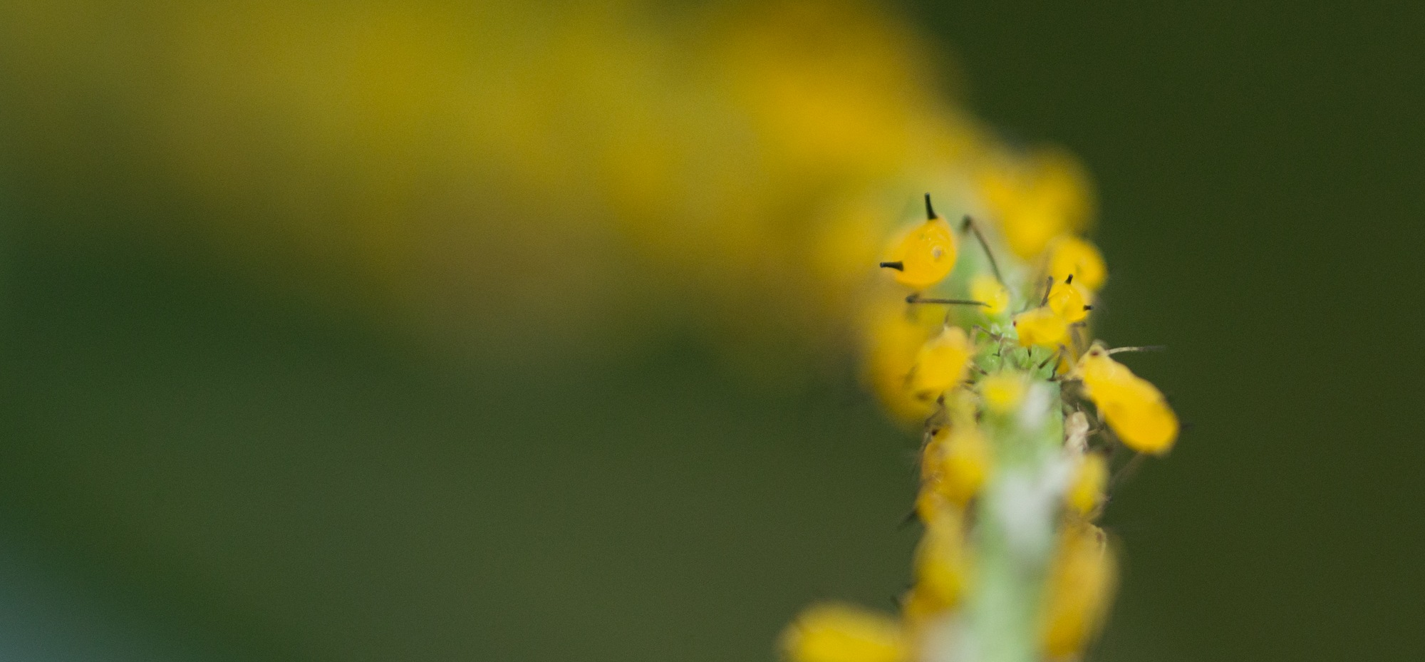 aphids on a stem by Lawrence Splitter