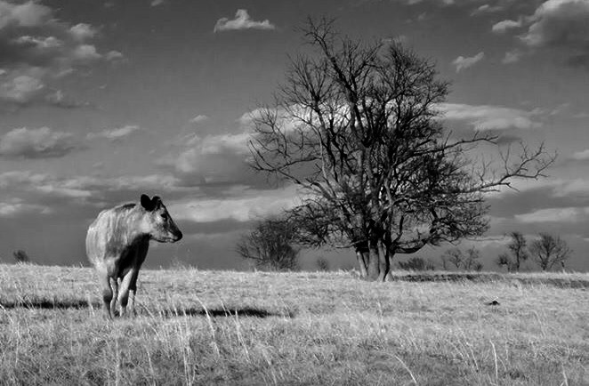 Cow and tree by Lawrence Splitter