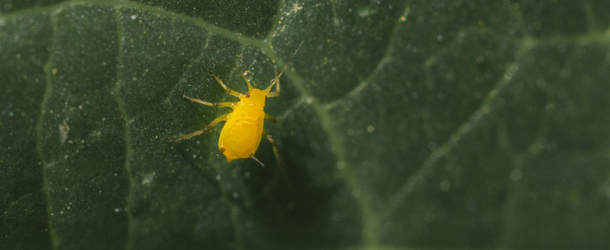 aphid by Lawrence Splitter