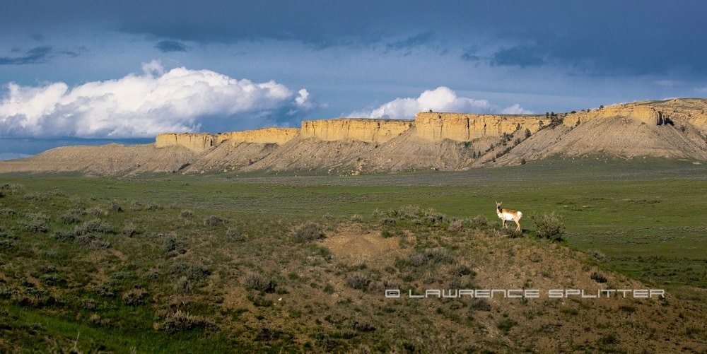 Antelope in Wyoming by Lawrence Splitter