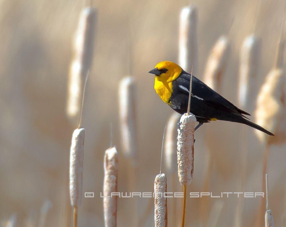 Yellow headed black bird by Lawrence Splitter