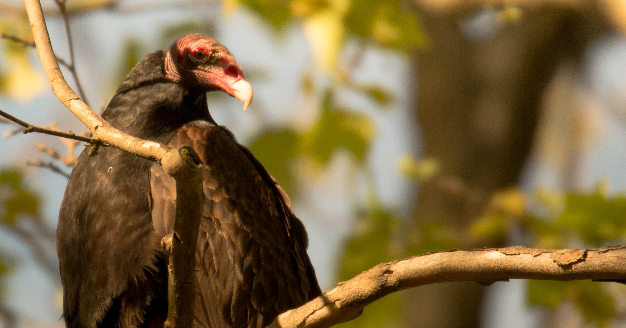 Turkey Vulture in the afternoon glow by Lawrence Splitter