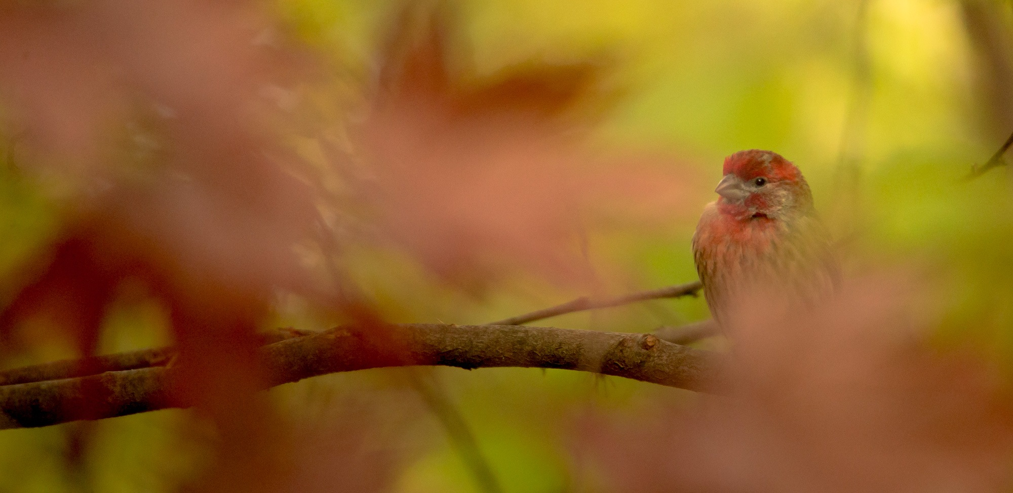 Male house finch among the maple leaves by Lawrence Splitter