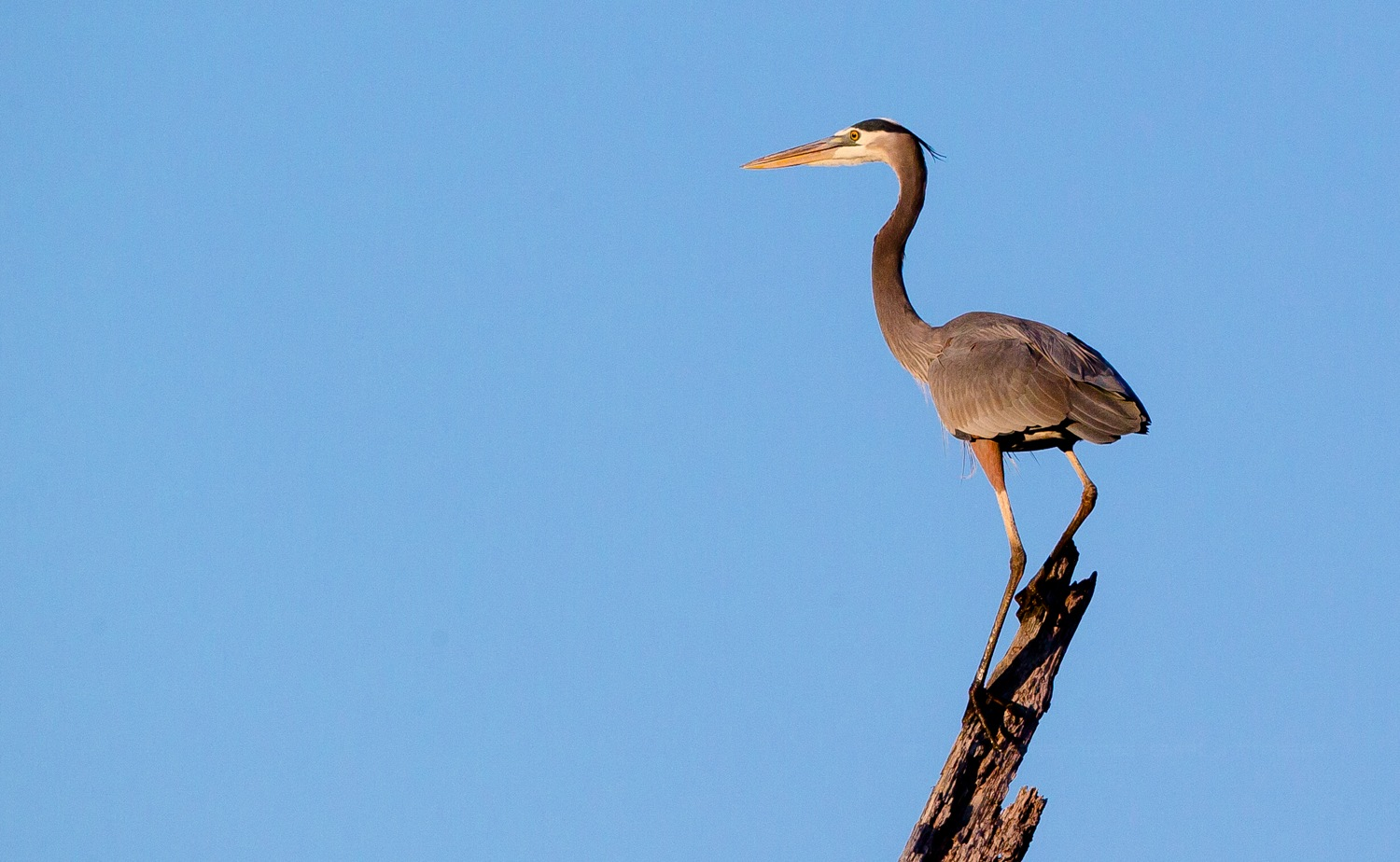 Blue heron watching the sunset by Lawrence Splitter