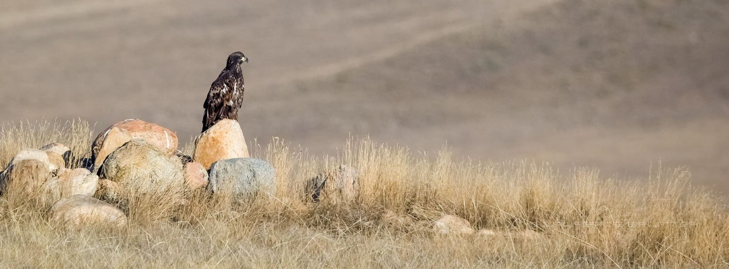 Juvenile bald eagle surveying the open land by Lawrence Splitter